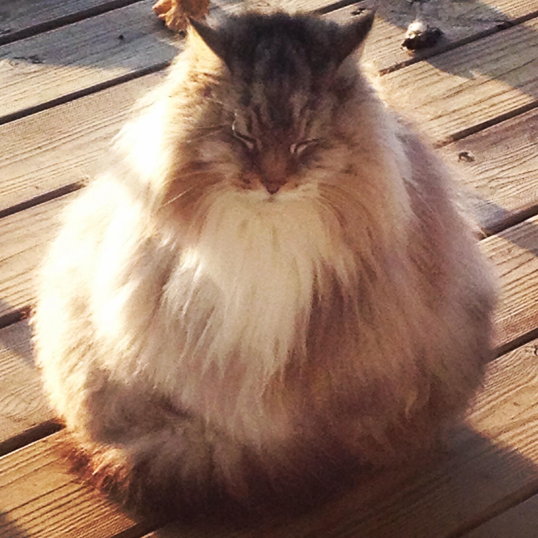 PsBattle: Fluffy round cat : photoshopbattles
