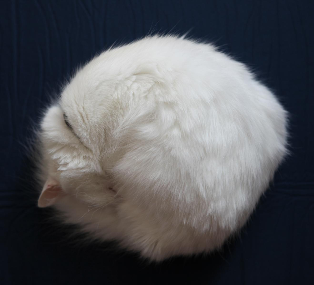 round cat, Cat, Close-up, Domestic, Fluffy, HQ Photo