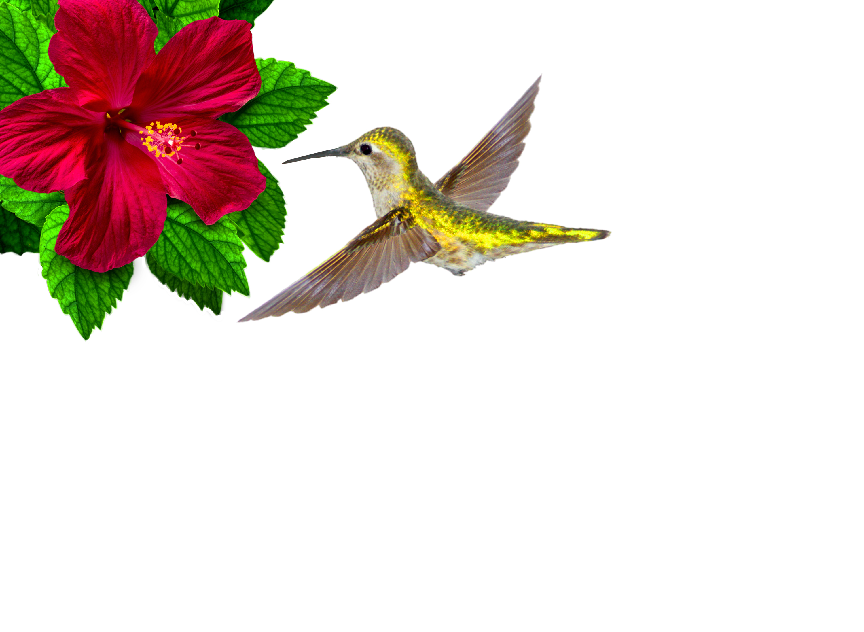 Ruby-throated hummingbird hovering photo