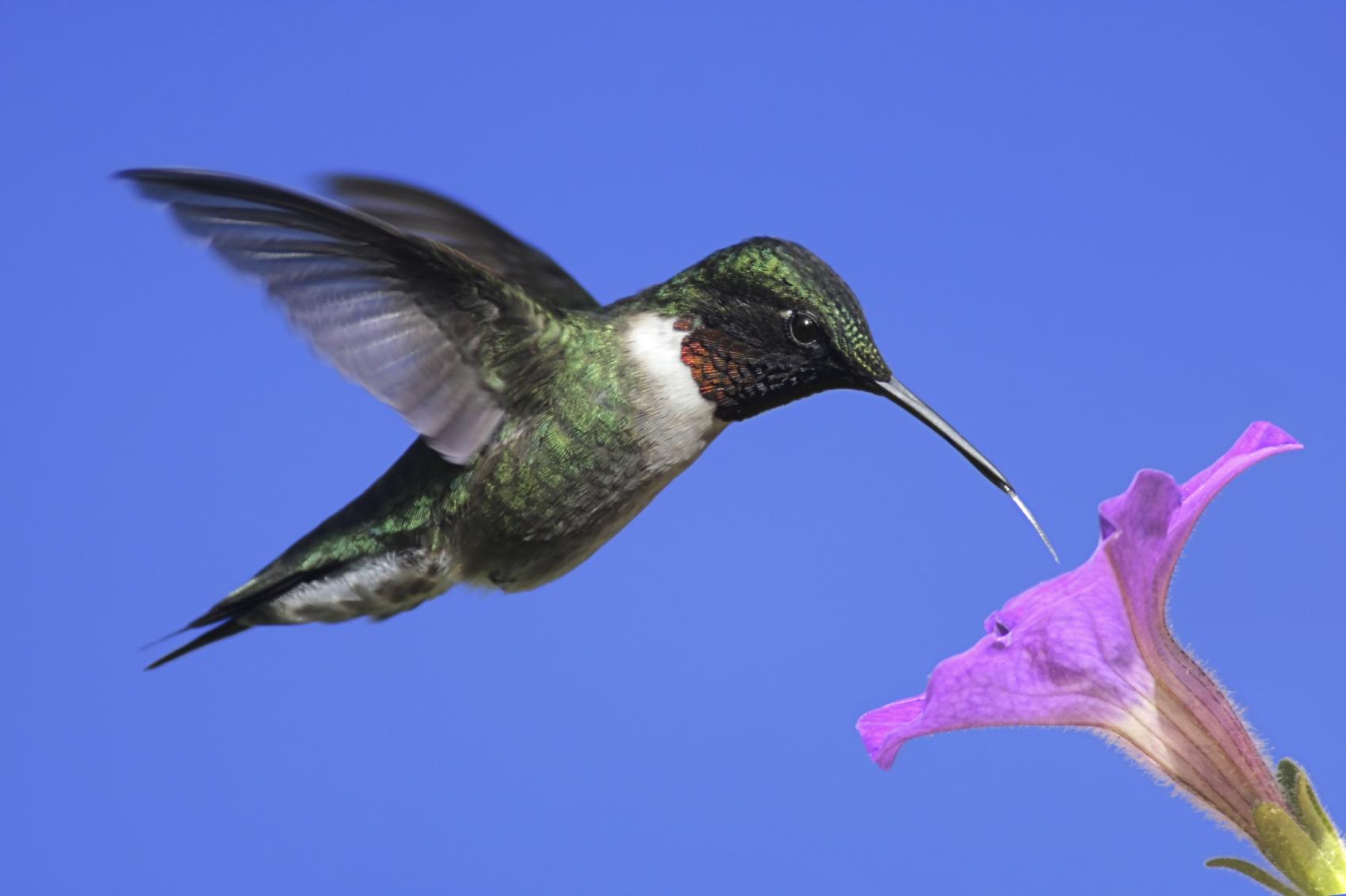 Ruby-throated Hummingbird – Aspen Song Wild Bird Food