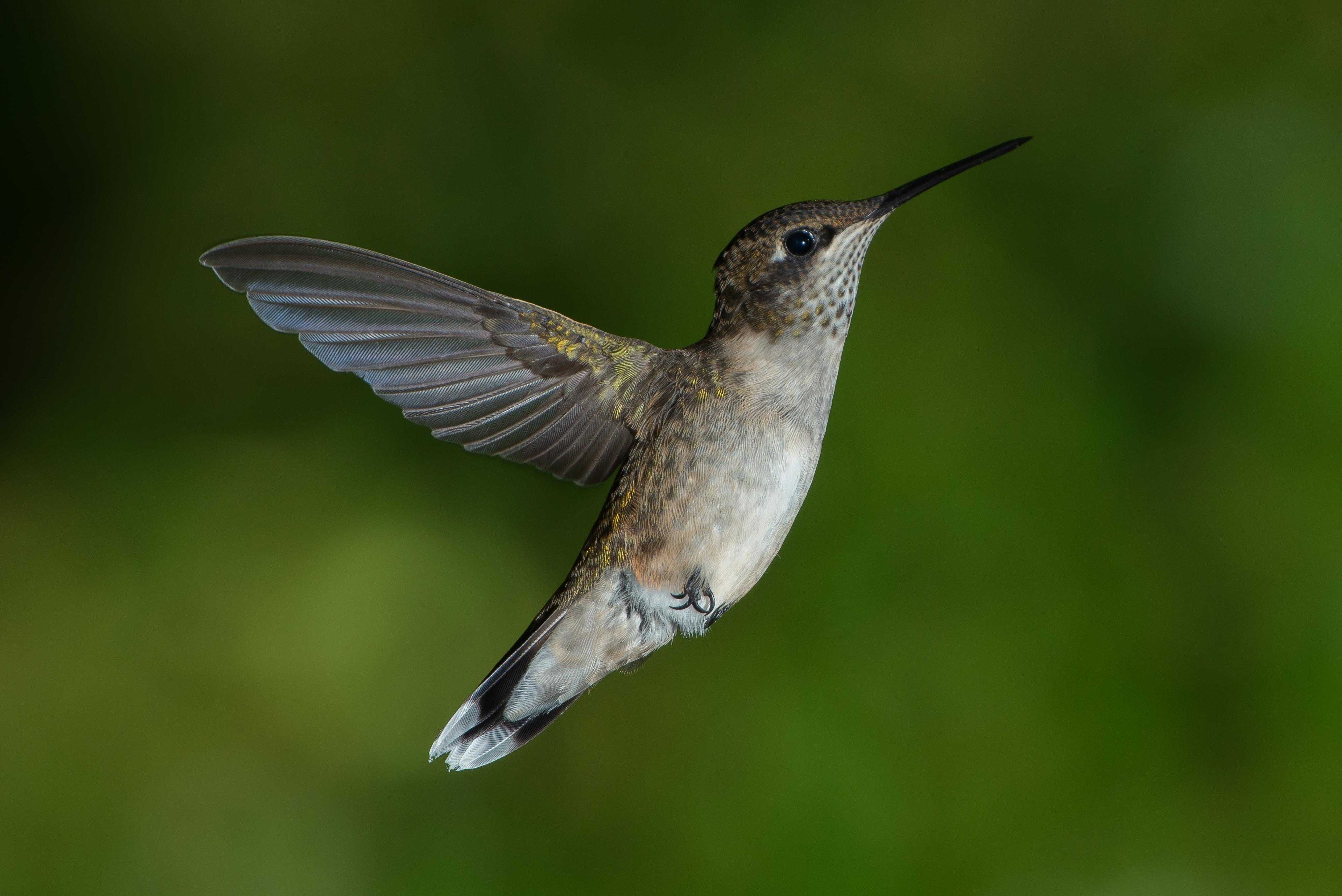 File:Juvenile Male Ruby-throated Hummingbird.jpg - Wikipedia
