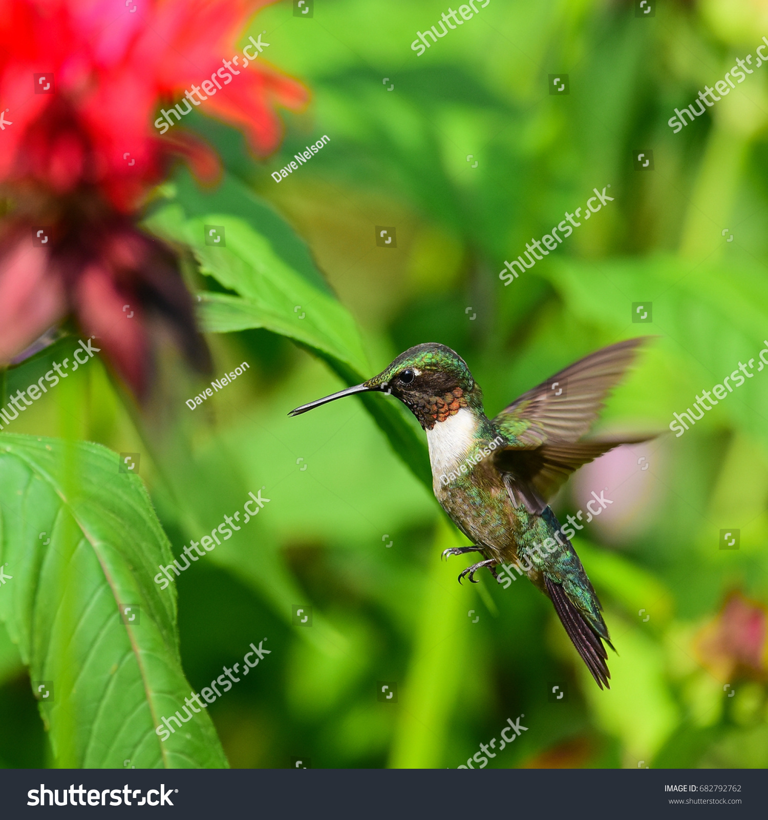 Male Ruby Throated Hummingbird Hovering Near Stock Photo (Royalty ...