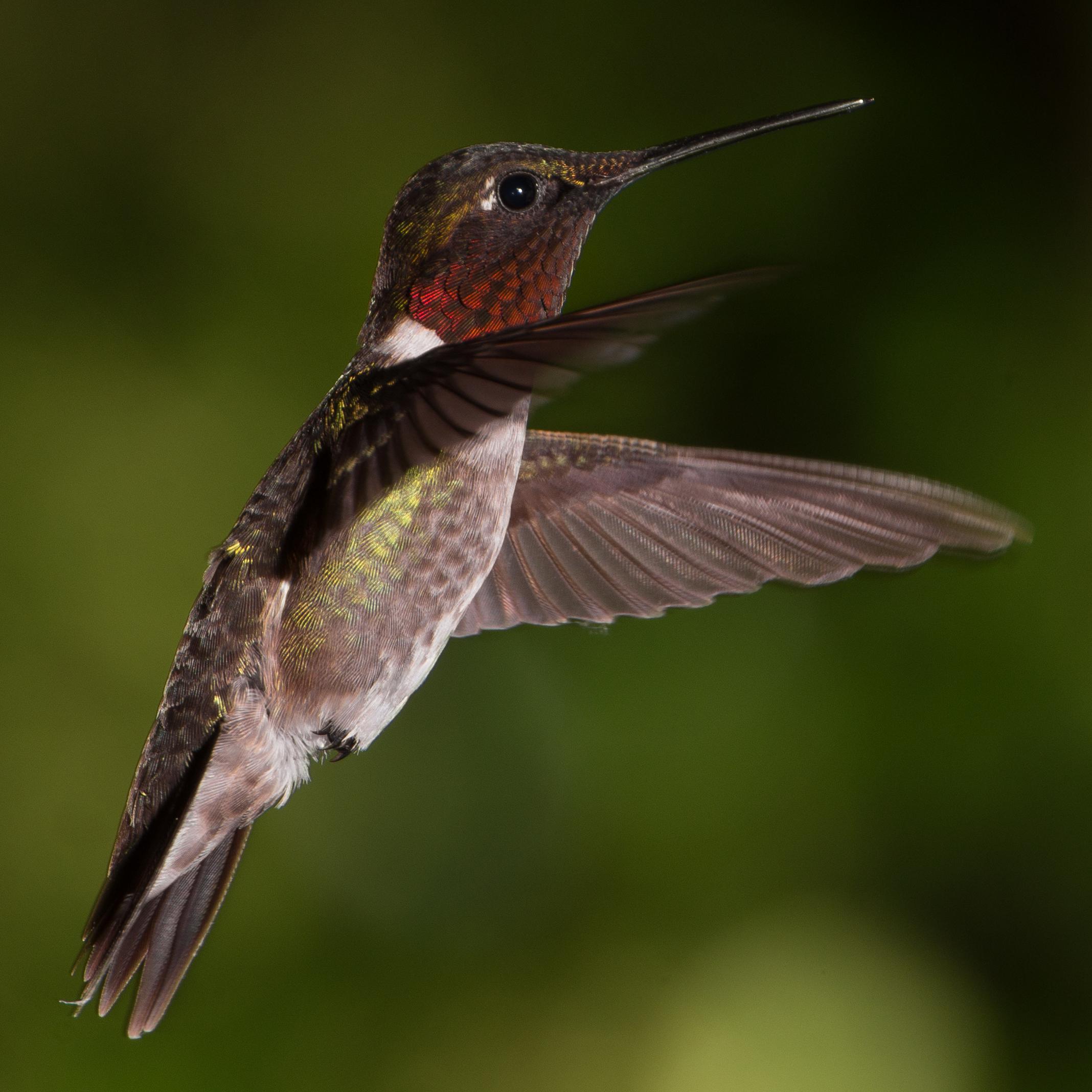 File:Male Ruby-Throated Hummingbird Hovering.jpg - Wikimedia Commons
