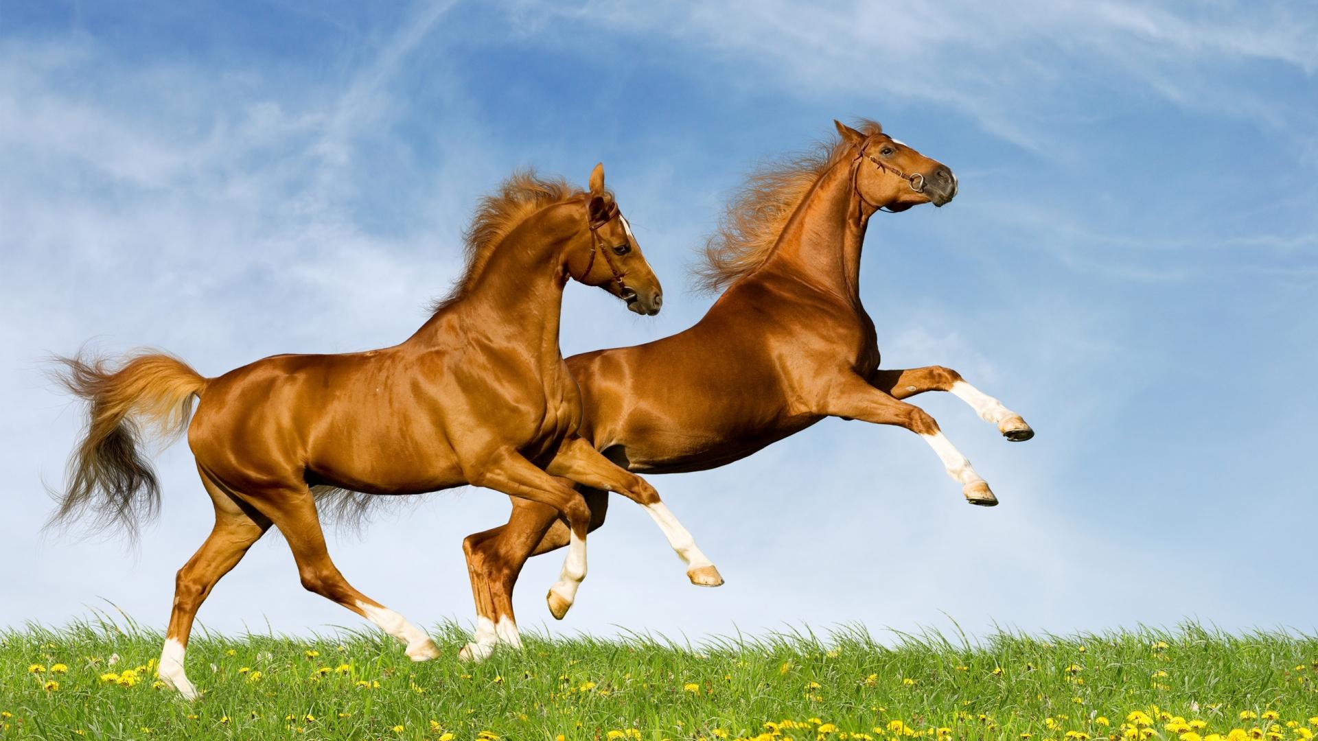 Free Photo Running Horse Animal Horse Nature Free Download Jooinn