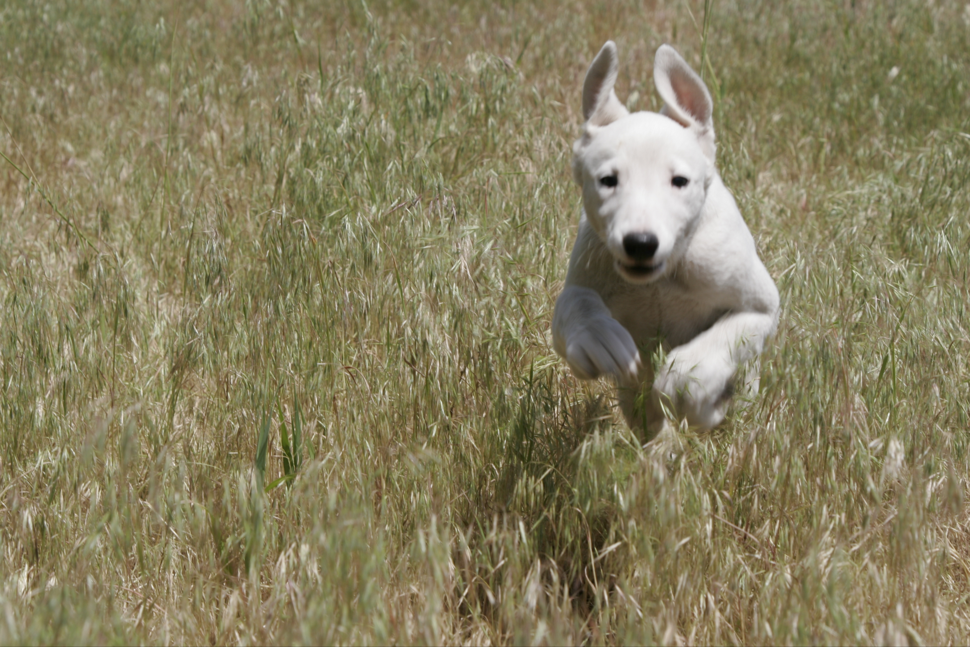 running greyhound puppy | Baby Animal Zoo