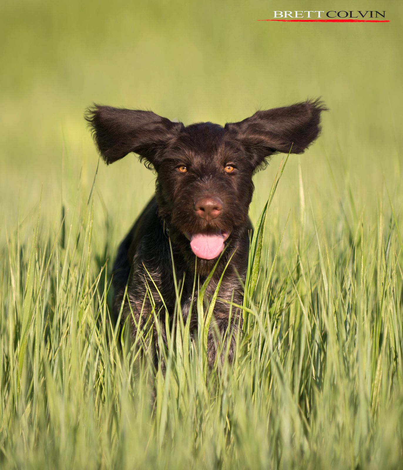 Love Life Like a Puppy | German wirehaired pointer, Pointers and Pup