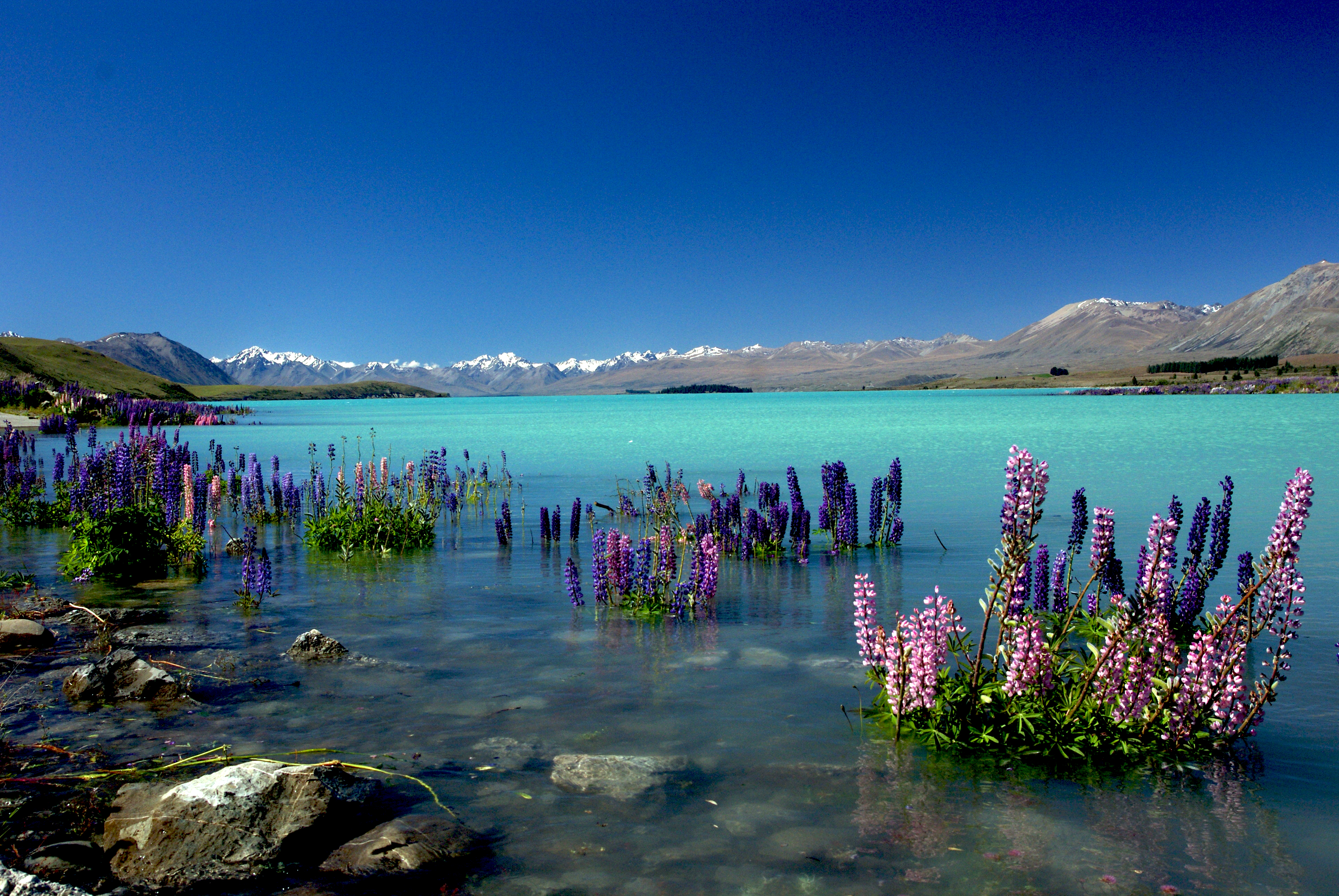 Russell Lupins in Lake Tekapo.NZ, Blue water, Clear, Day, Free photos, HQ Photo