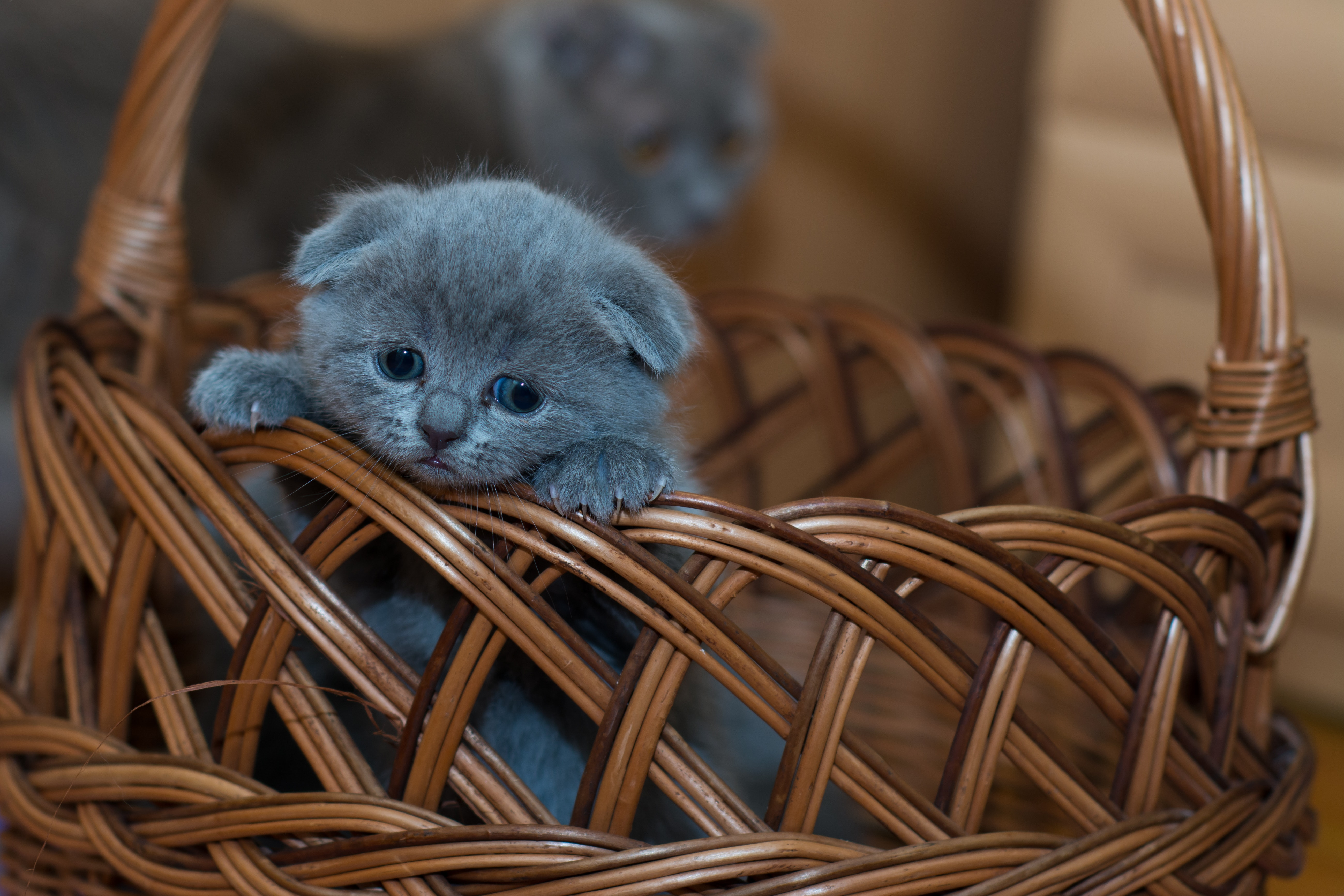Russian blue kitten on brown woven basket photo