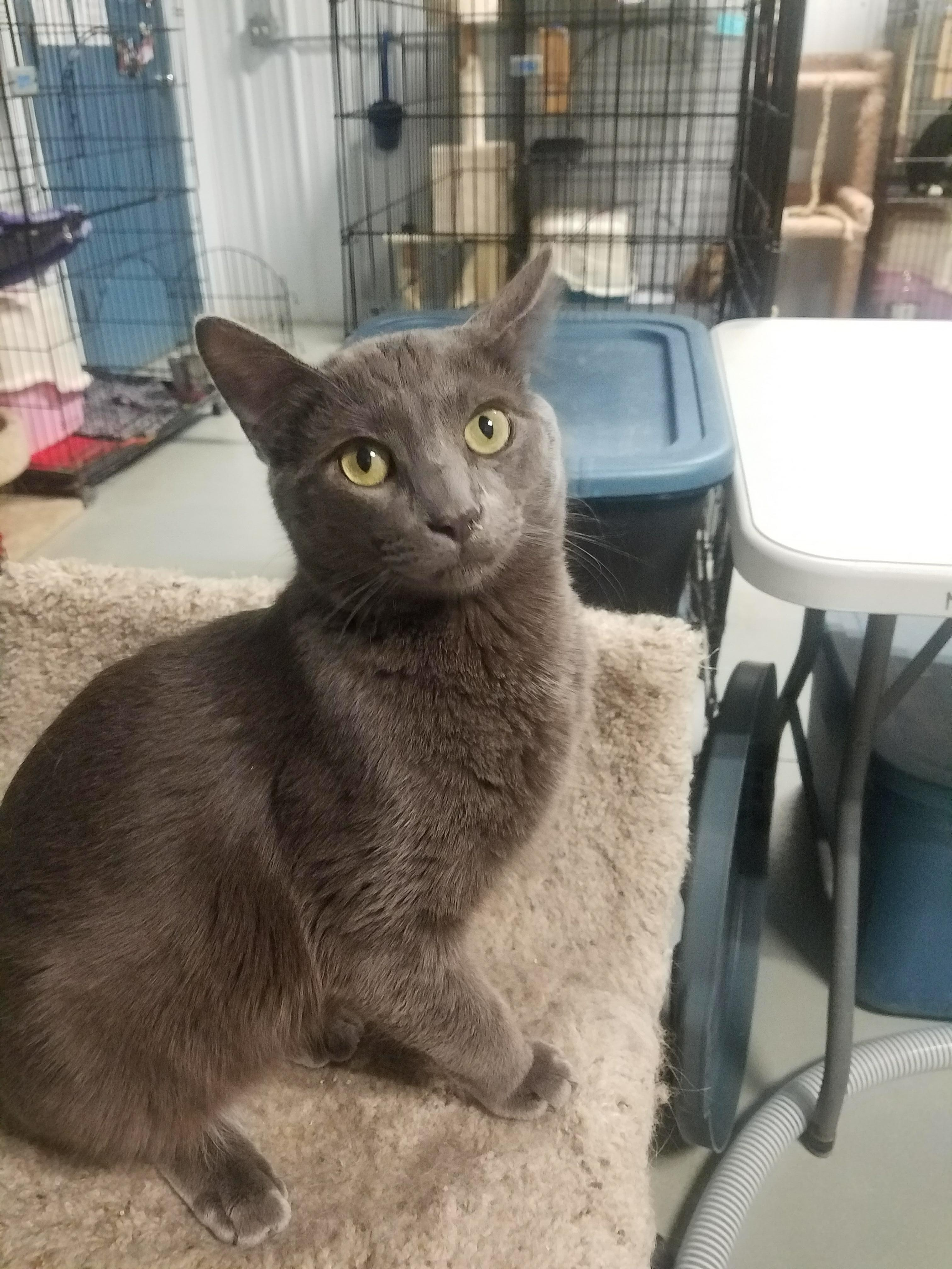 Cat for Adoption – Gray Monkey, near Fargo, ND | Petfinder