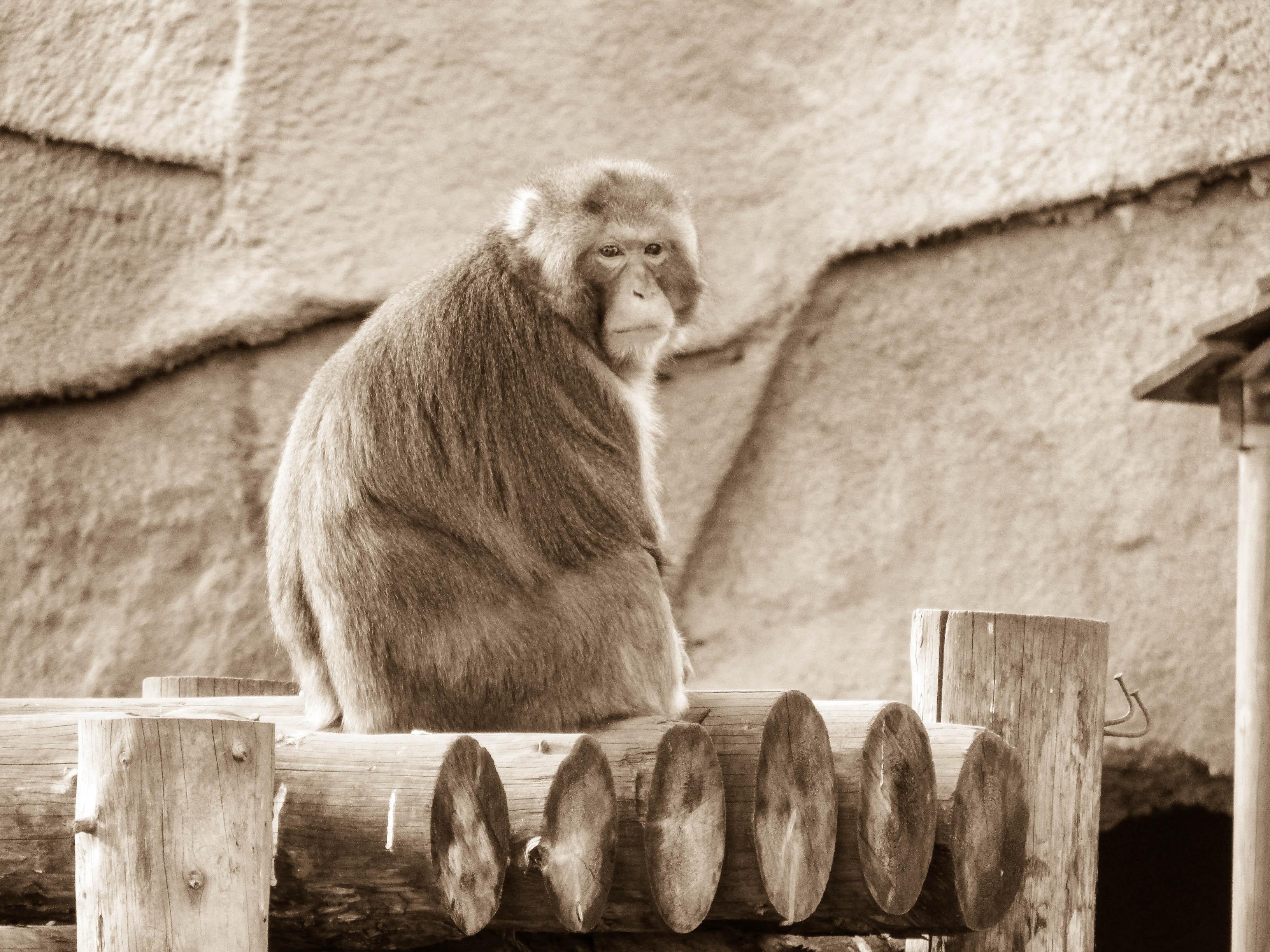 Russian Monkey, Ape, Monkey, Primate, Russian, HQ Photo