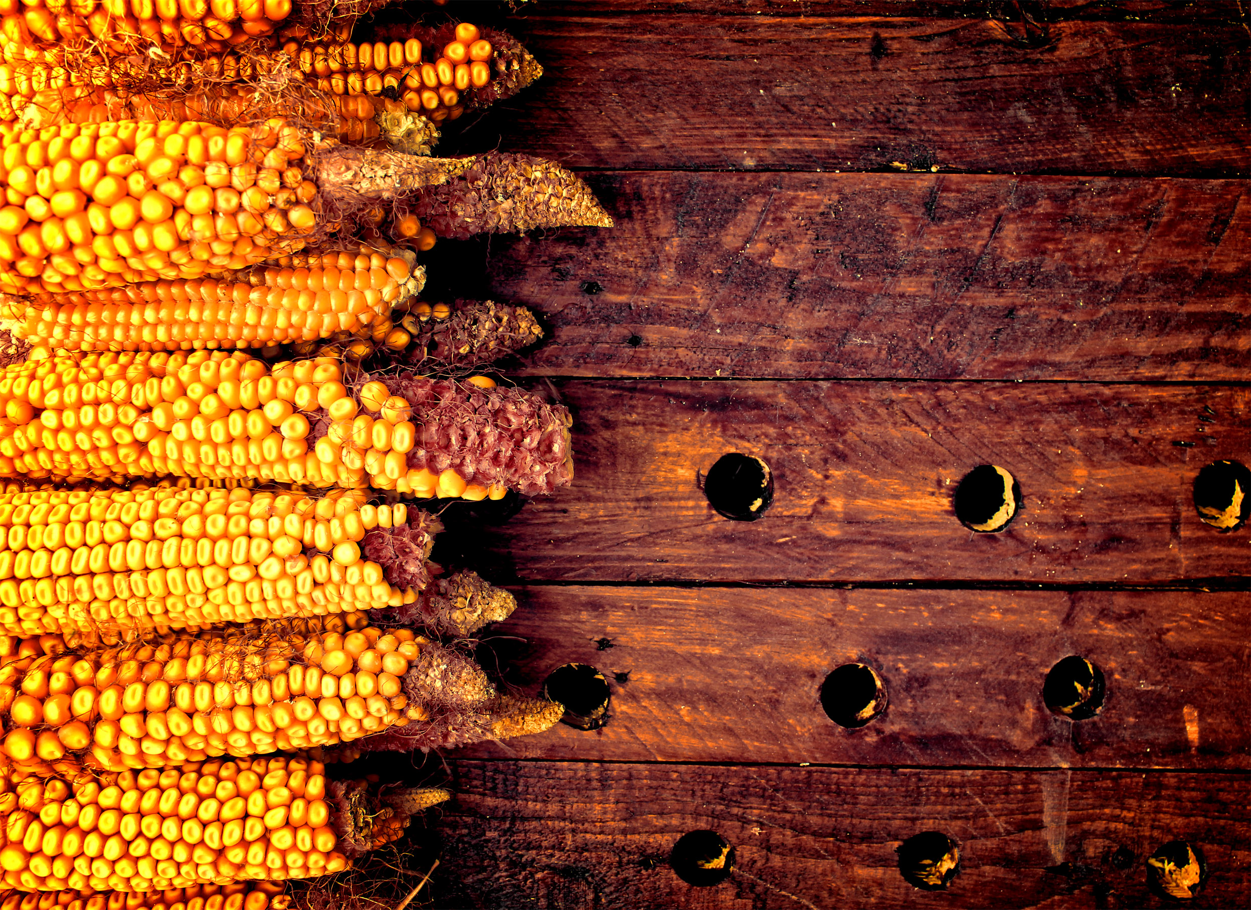 Rustic corn cobs on wooden background - organic farming photo