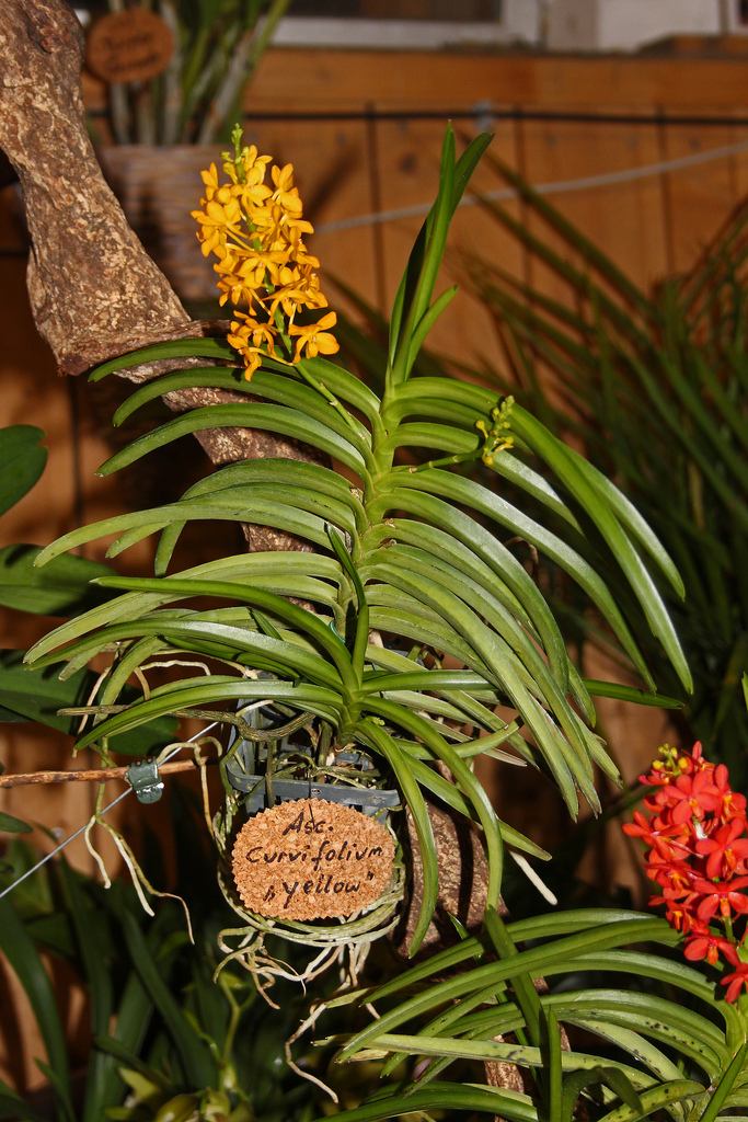 The World's newest photos of ascocentrumminiatum - Flickr Hive Mind