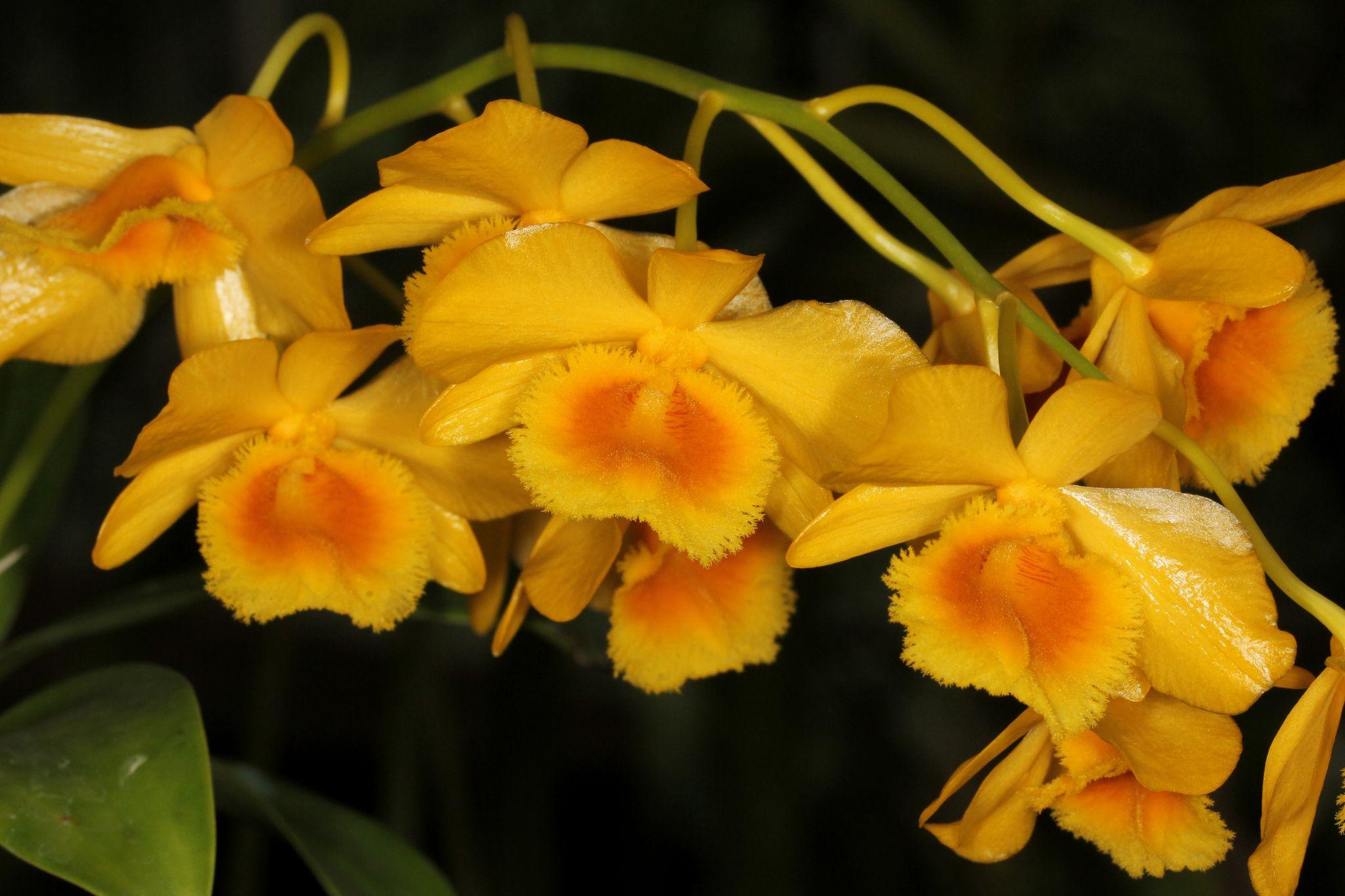 Dendrobium chittimae 2017-02-13 02 | Orchid