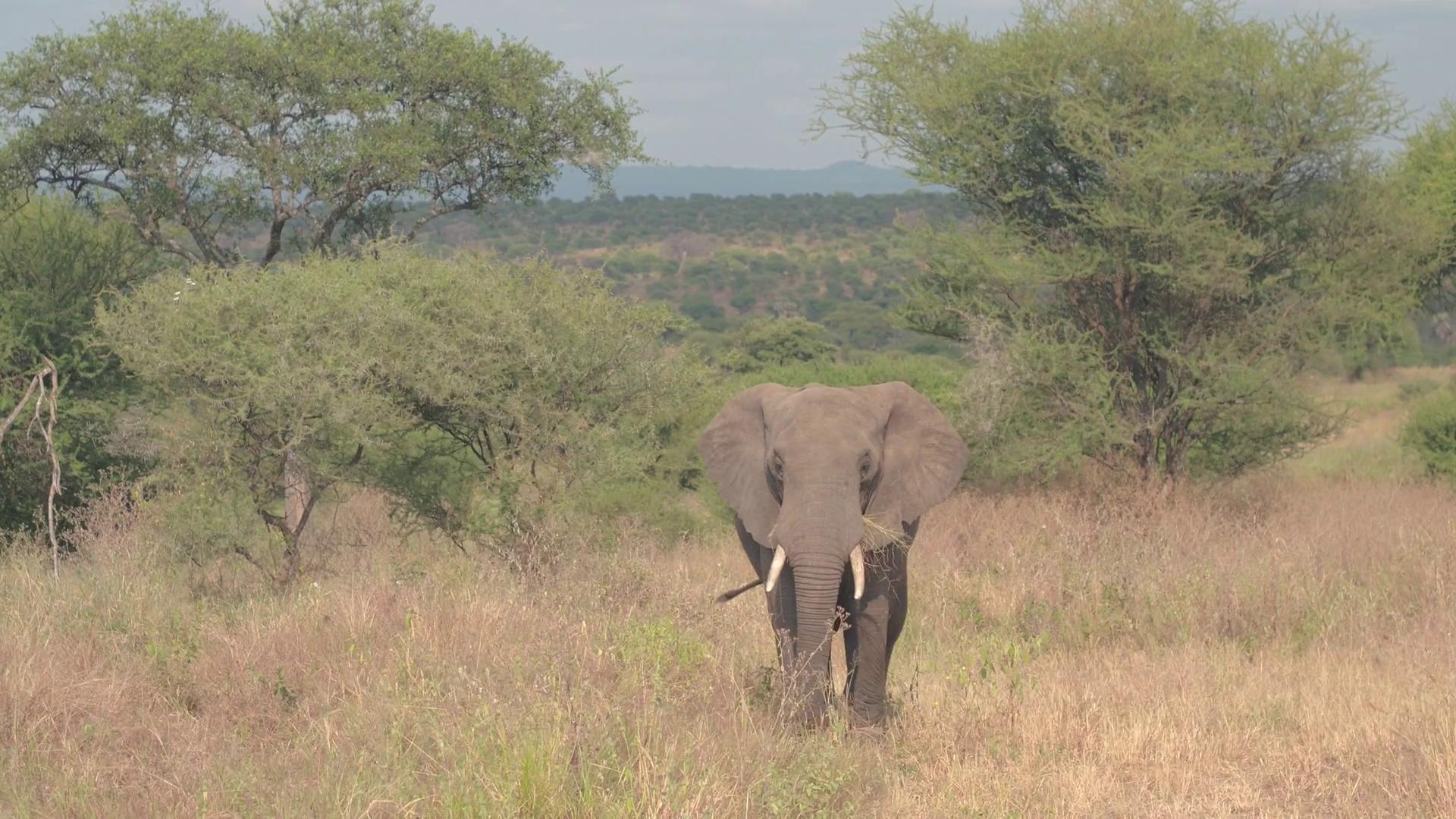 CLOSE UP: Big safari elephant walking in wilderness and feeding ...
