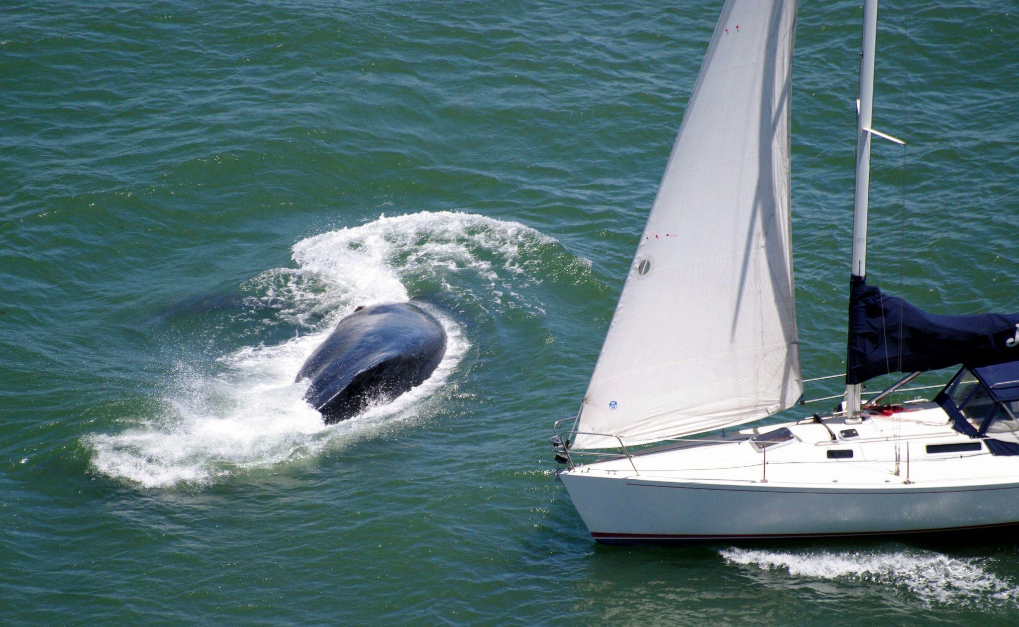 Whale barely dodges oncoming sailboat near Golden Gate Bridge - SFGate