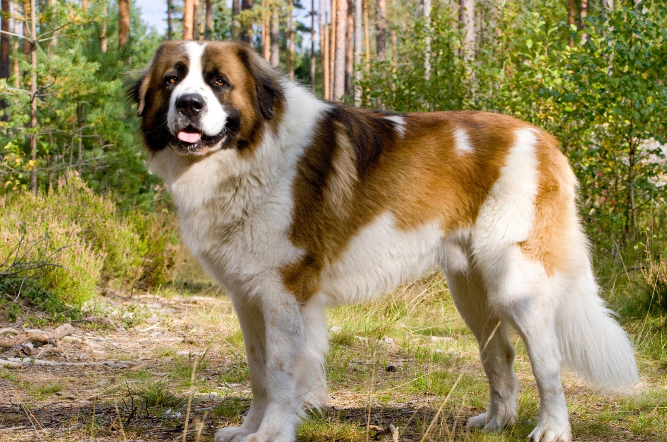 Saint bernard dog photo