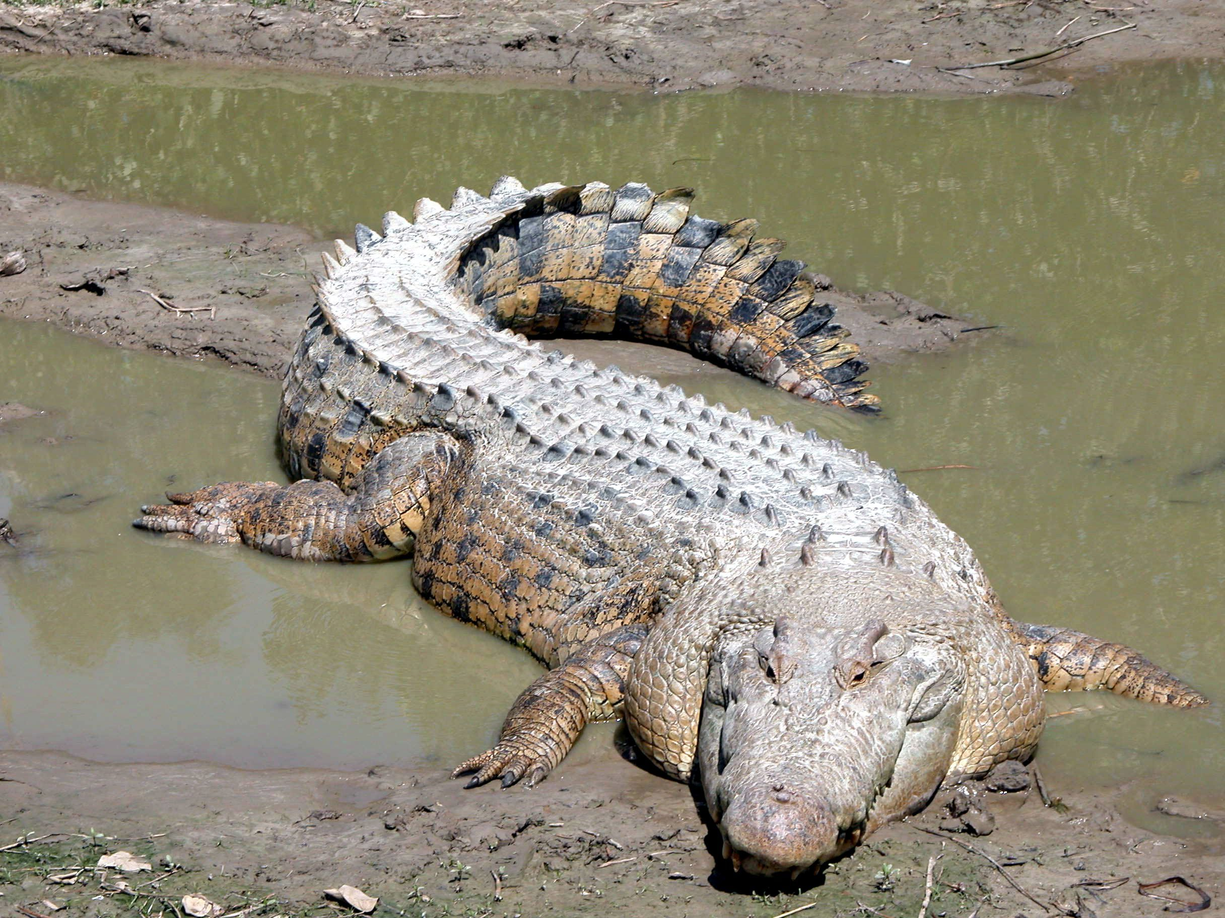 Free picture: saltwater crocodile