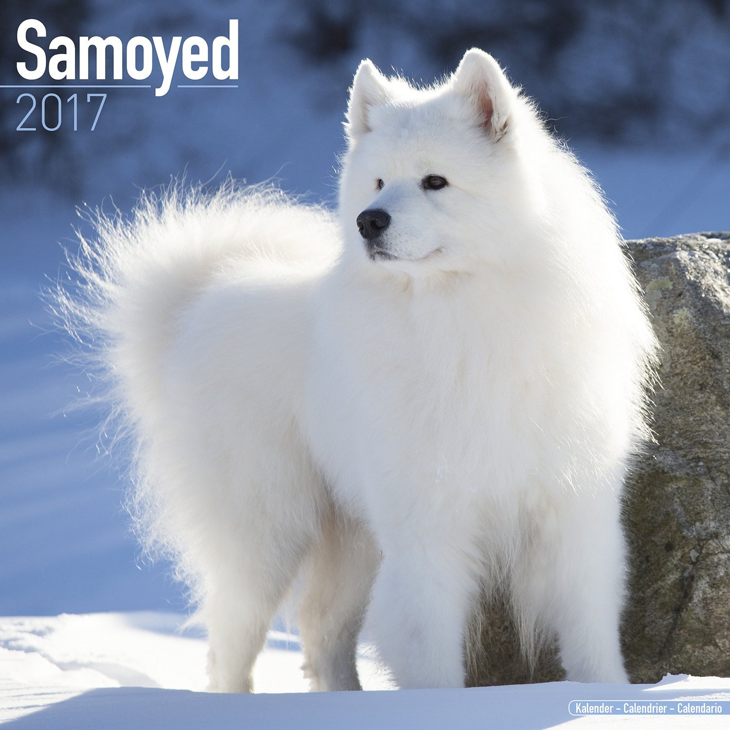 Samoyed Calendar 2017 - Dog Breed Calendars - 2016 - 2017 wall ...