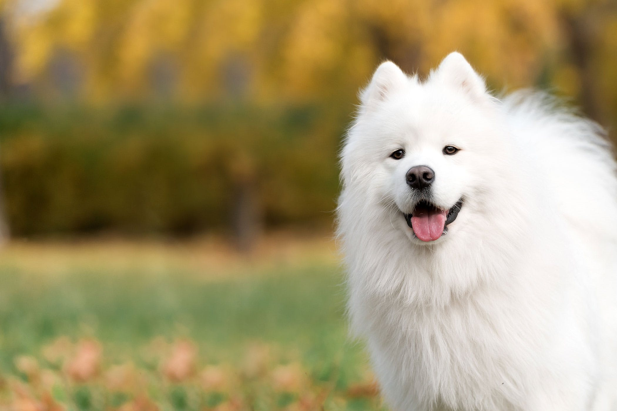 Samoyed Dog Names - Wag!