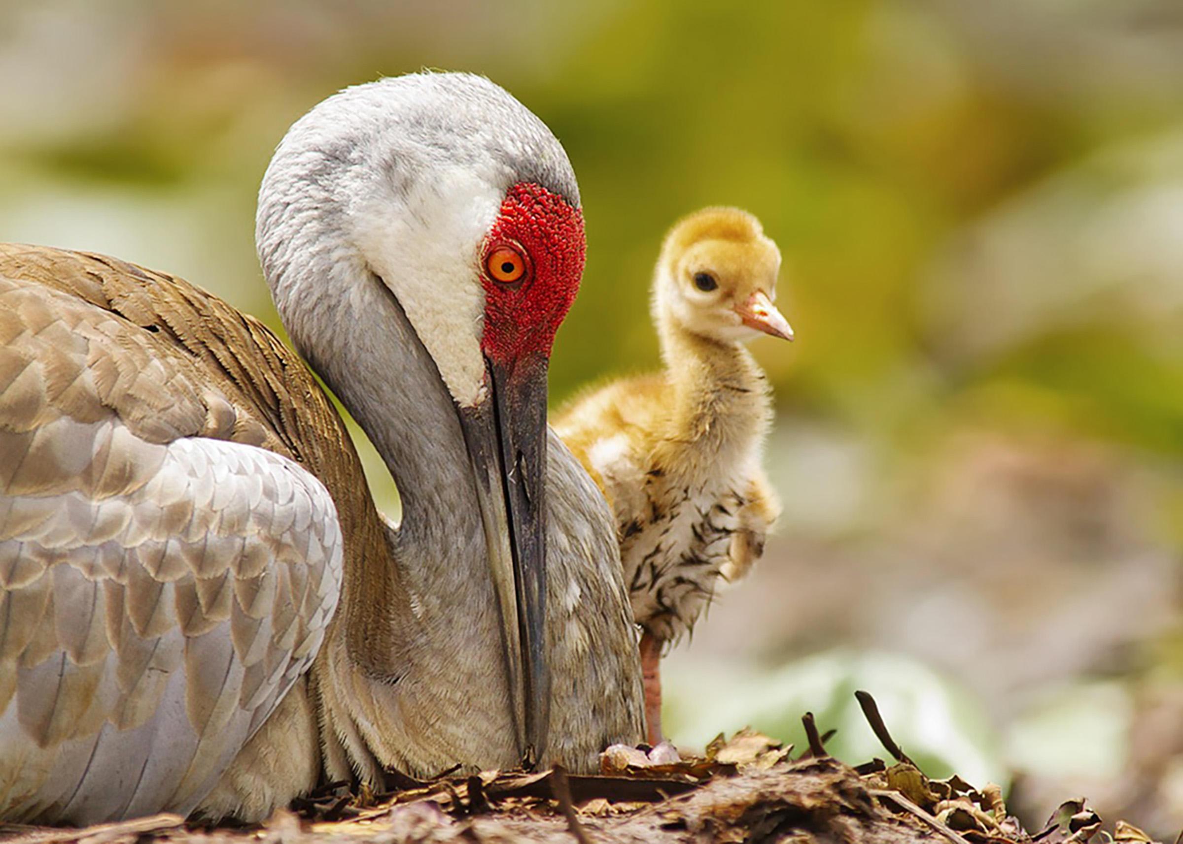 Sandhill crane photo