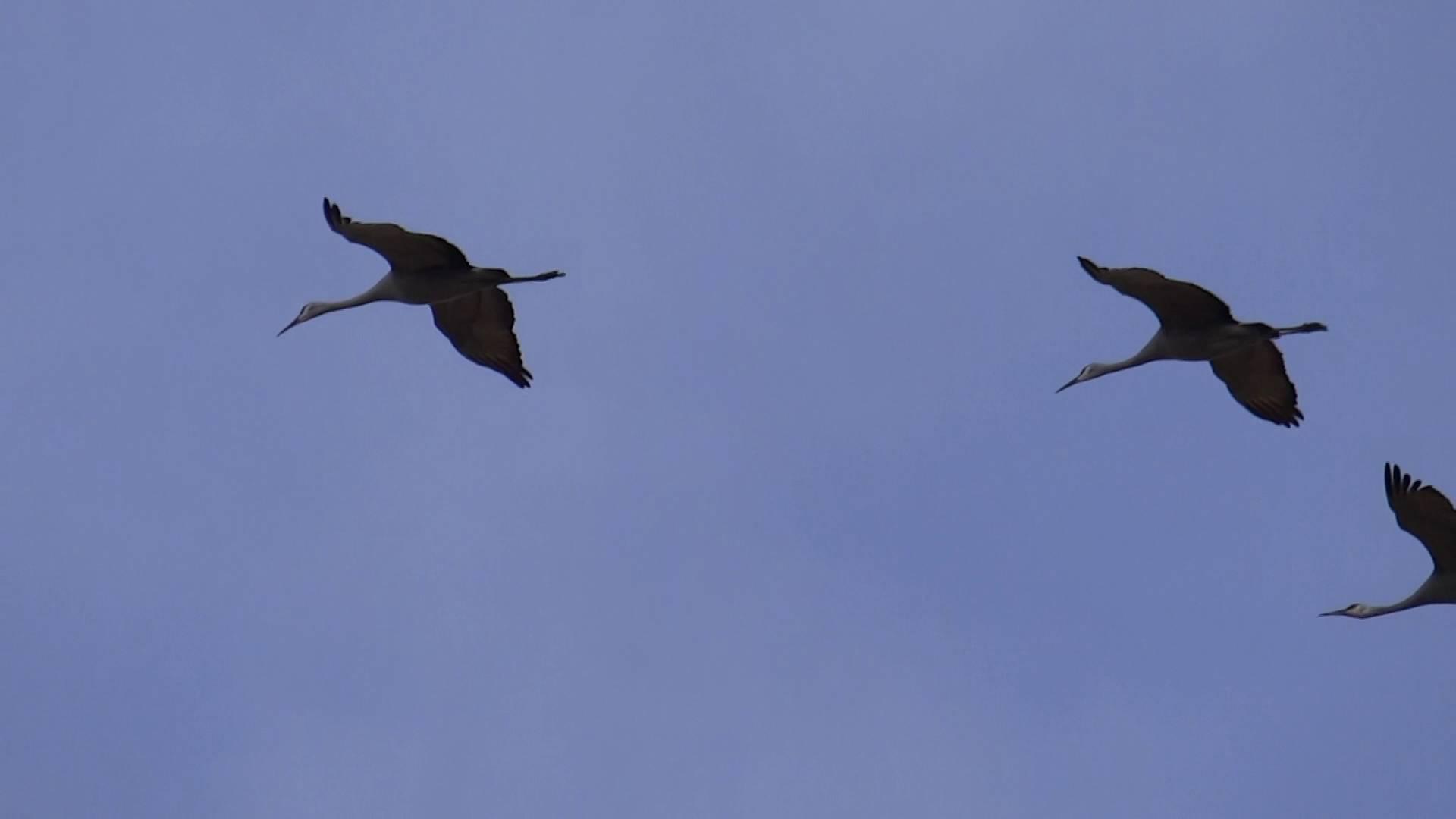 Sandhill cranes flying photo