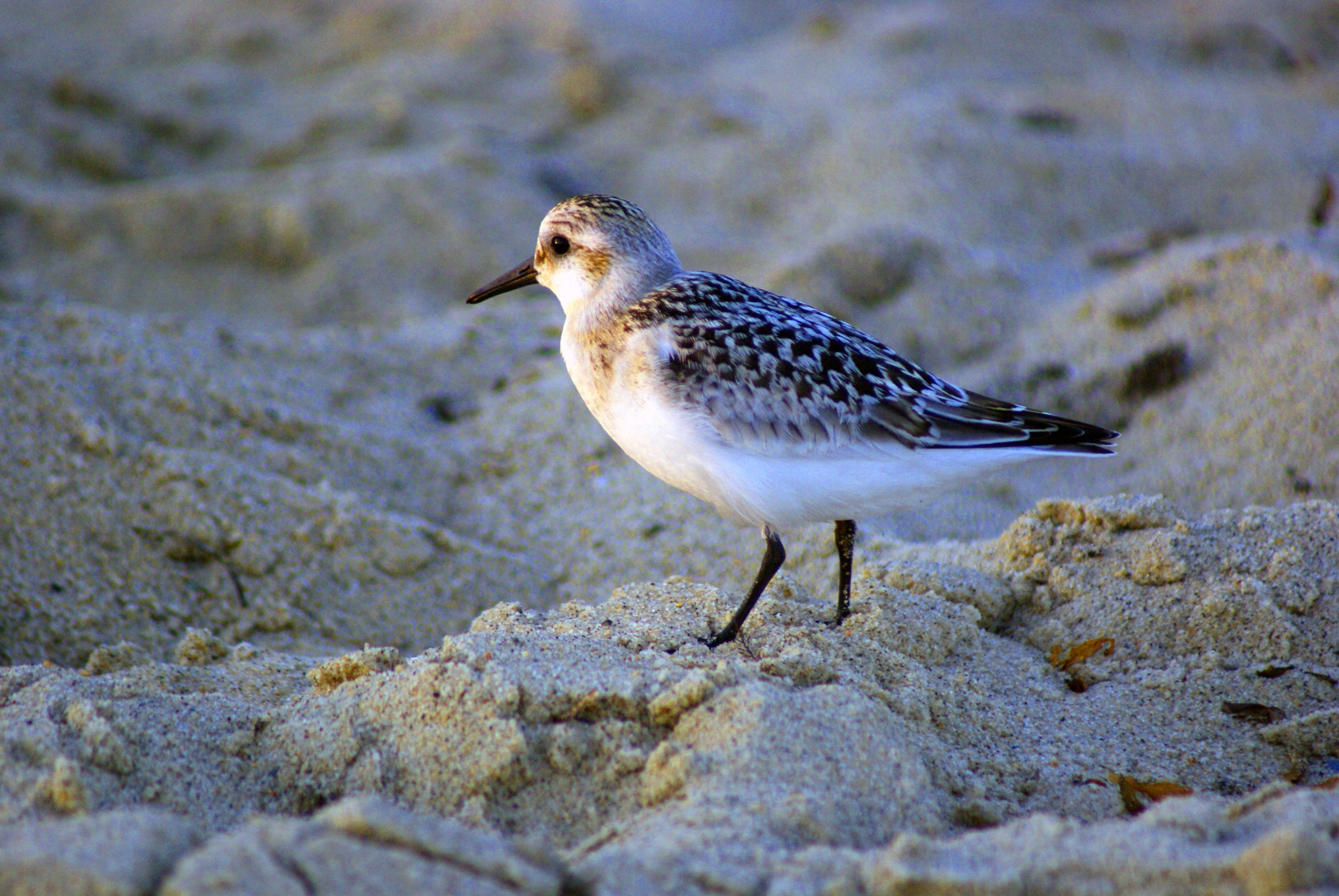 Sandpiper photo