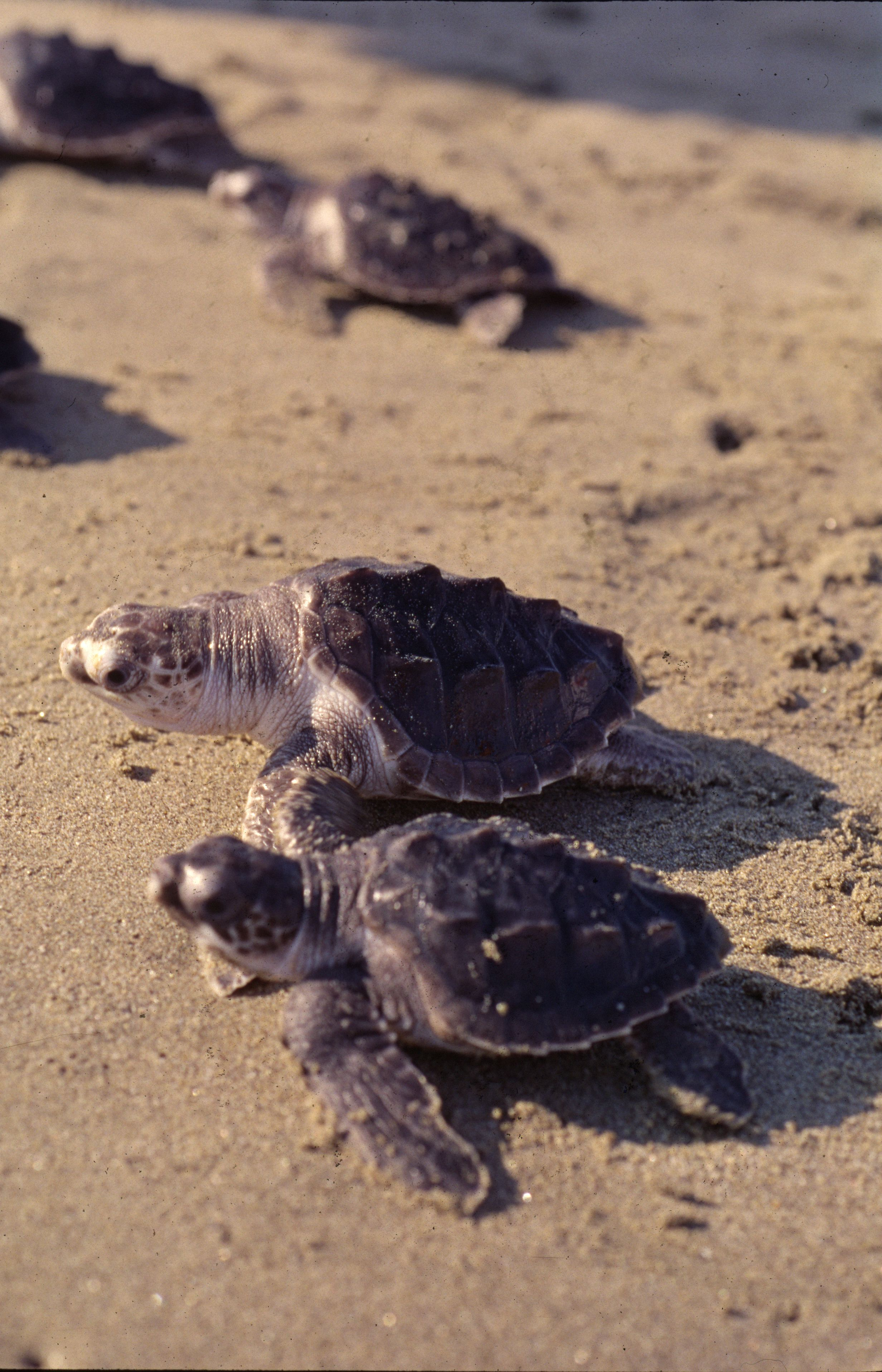 The challenge for the hatchlings is their journey from sandy beach ...