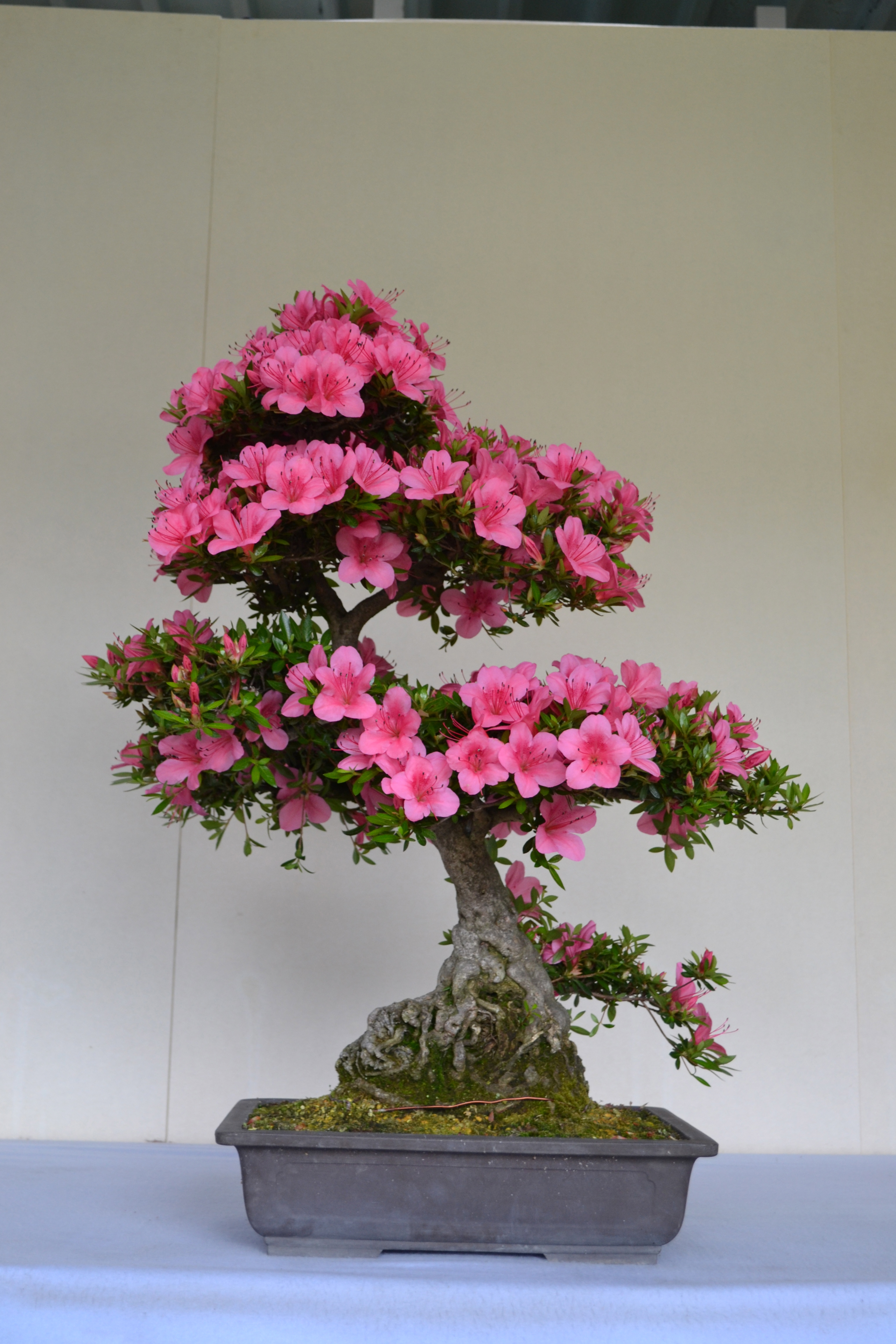 Satsuki azalea bonsai photo