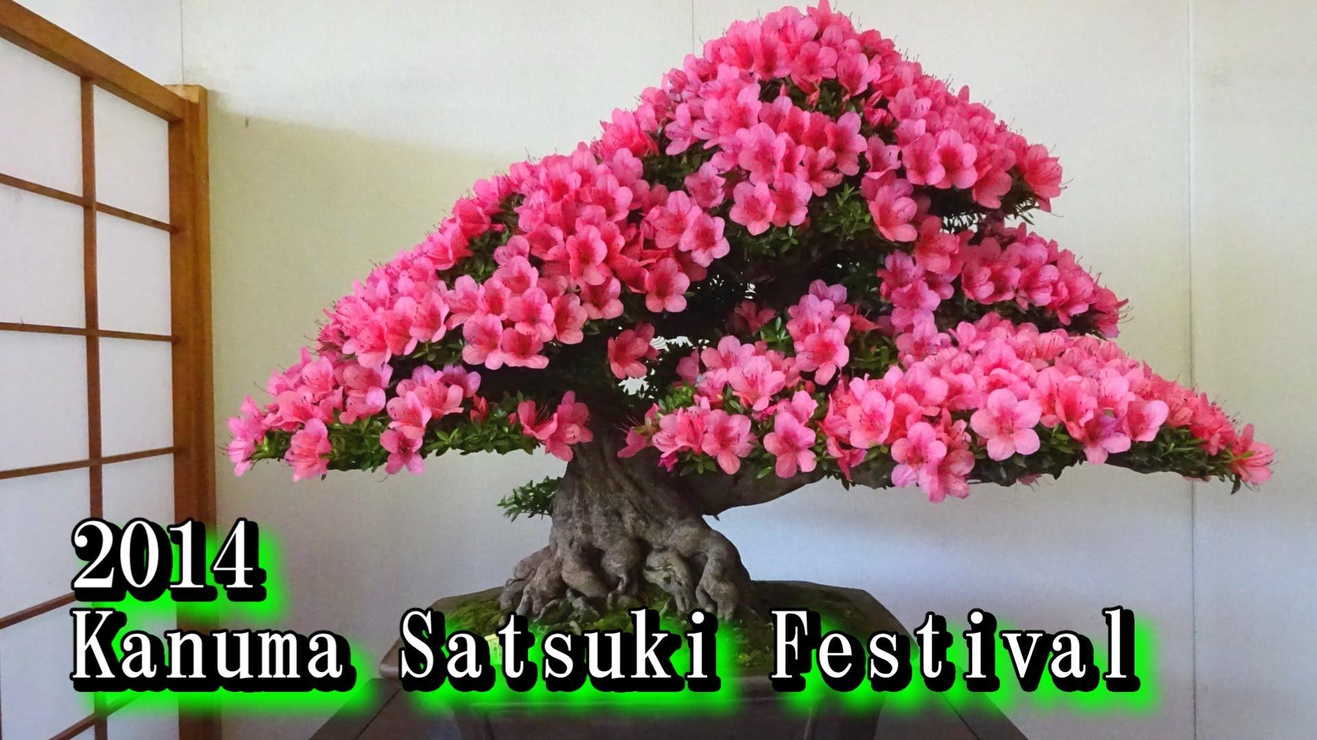 2014 鹿沼さつき祭り(盆栽) Satsuki Azalea Bonsai - YouTube