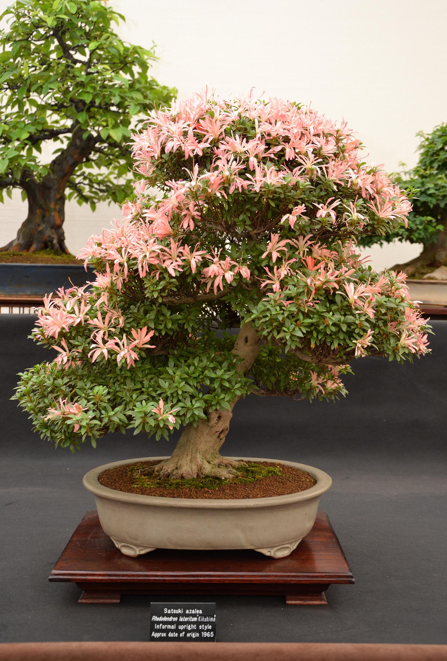Satsuki azalea bonsai, Aesthetics, Pot, Moss, Old, HQ Photo