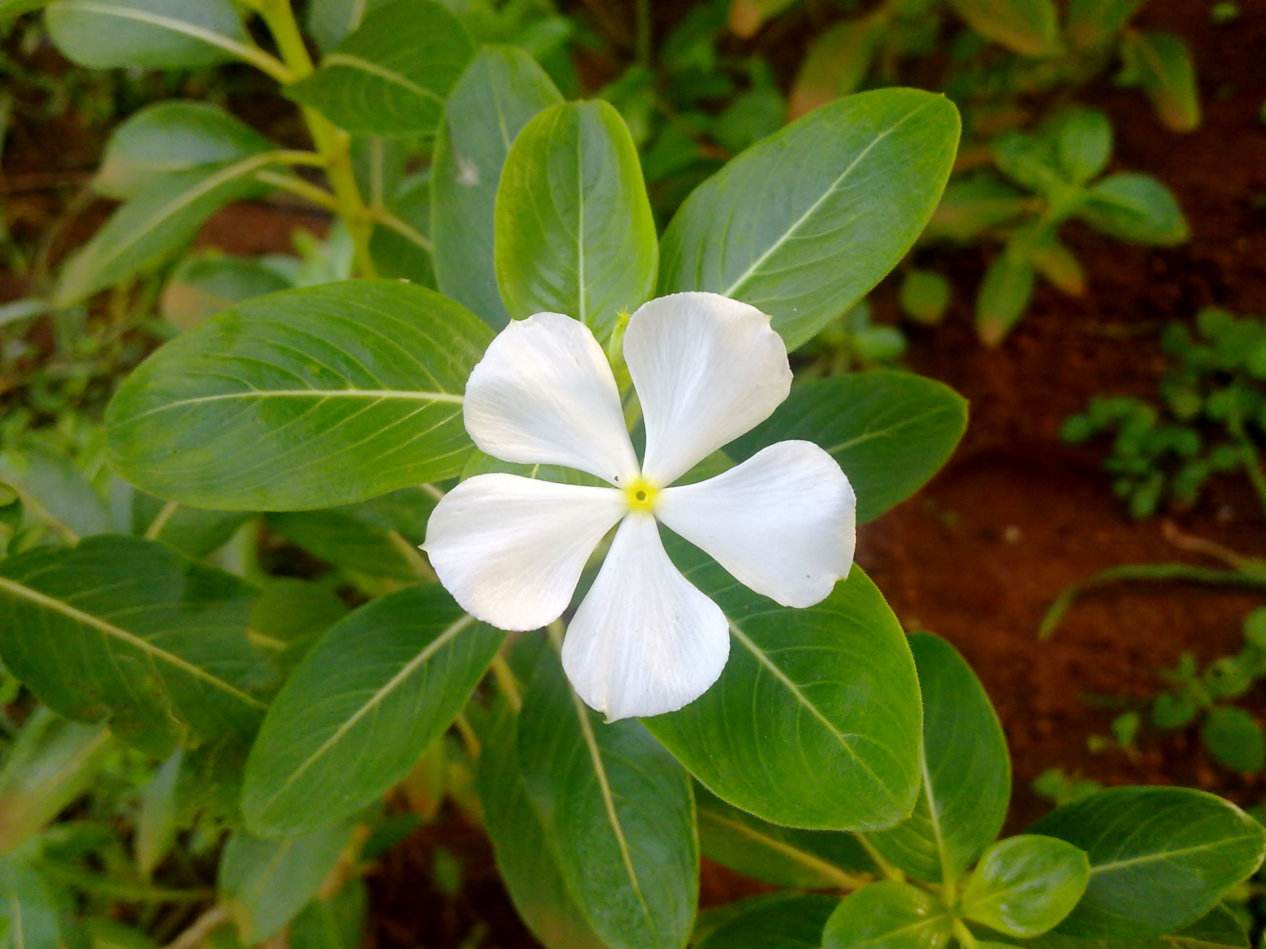 Savam nari flower (catharanthus roseus) photo