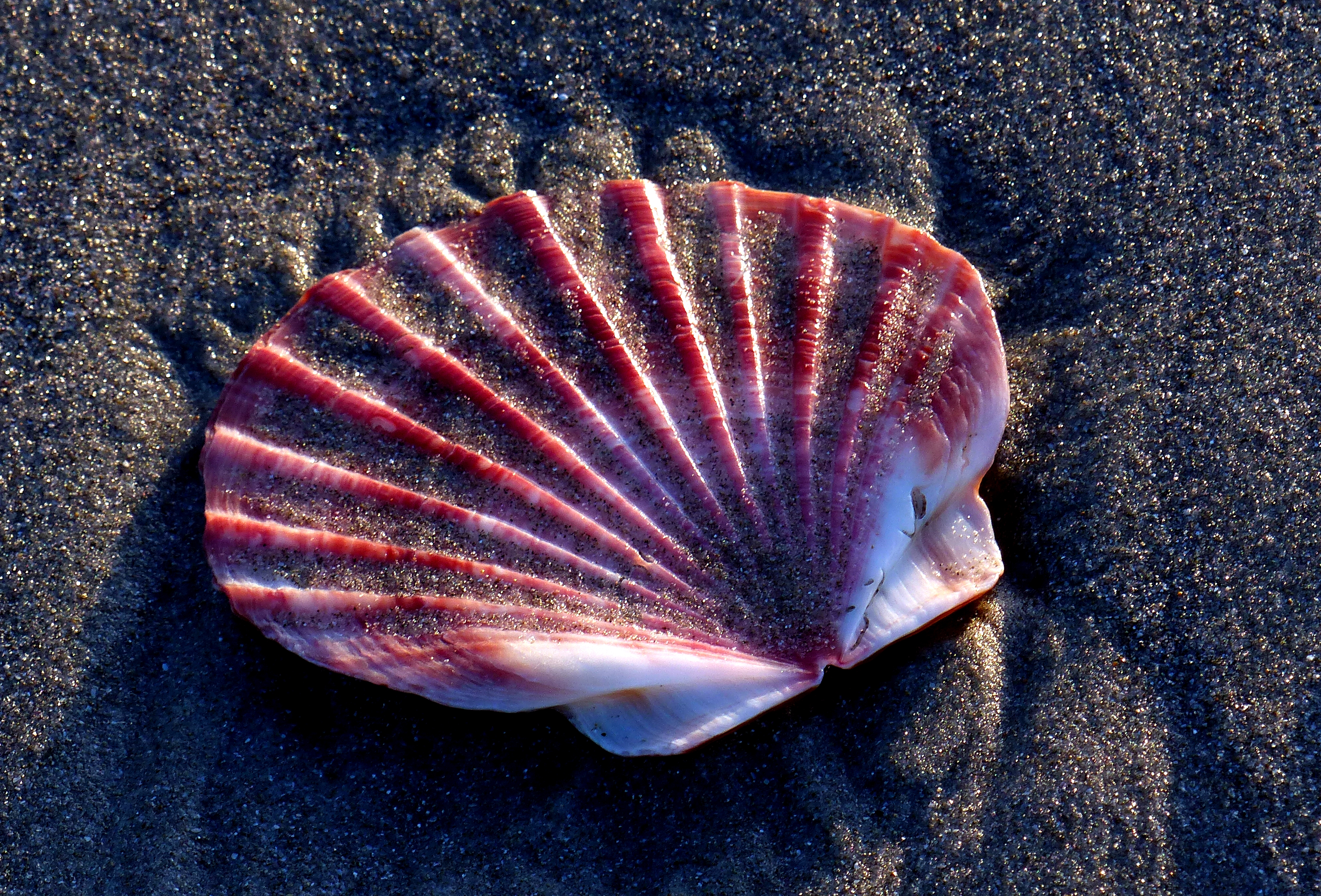 Scallop shell on the sands. photo