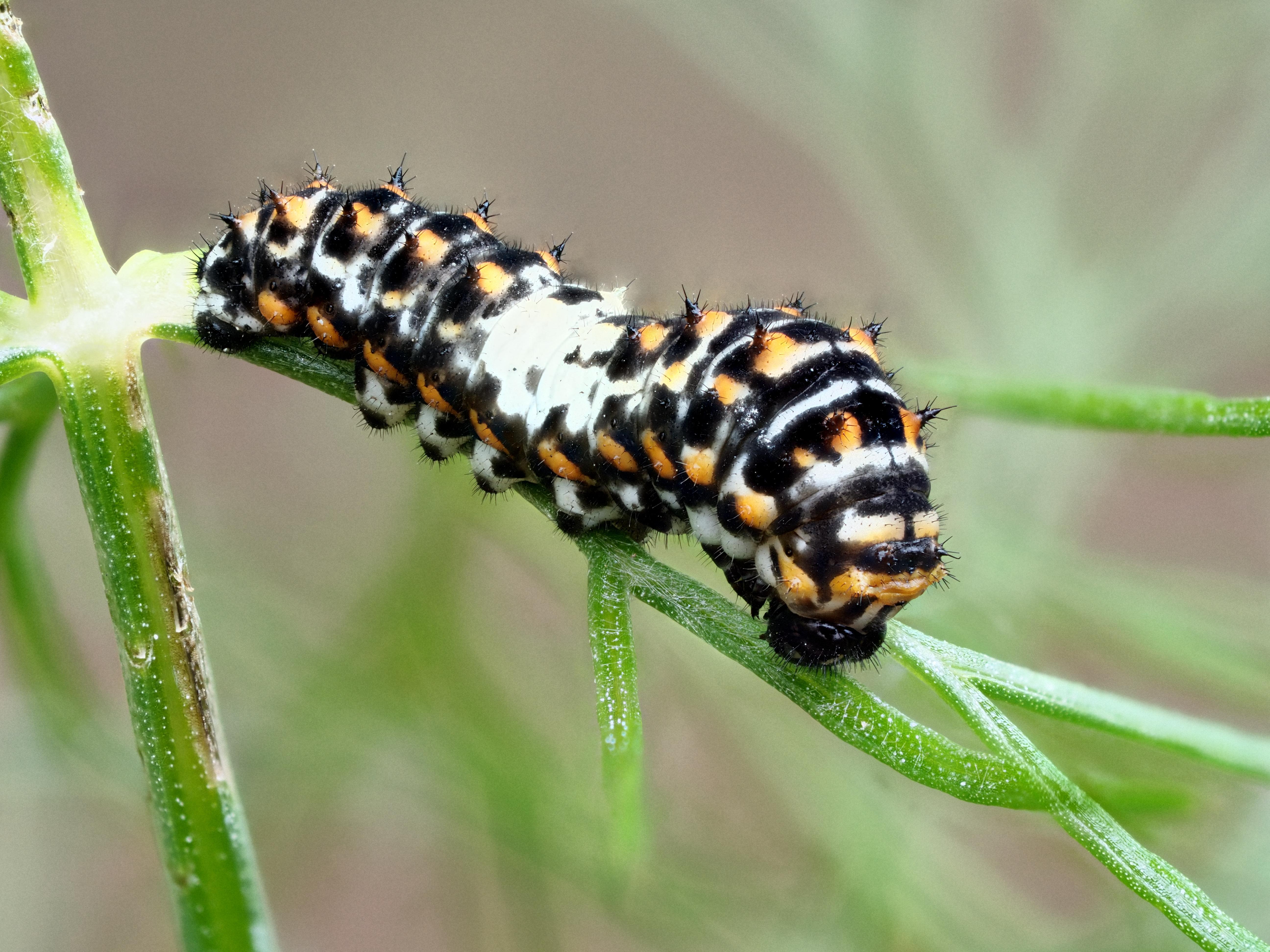 Schwalbenschwanz raupe - swallotail caterpillar - papilio machaon photo