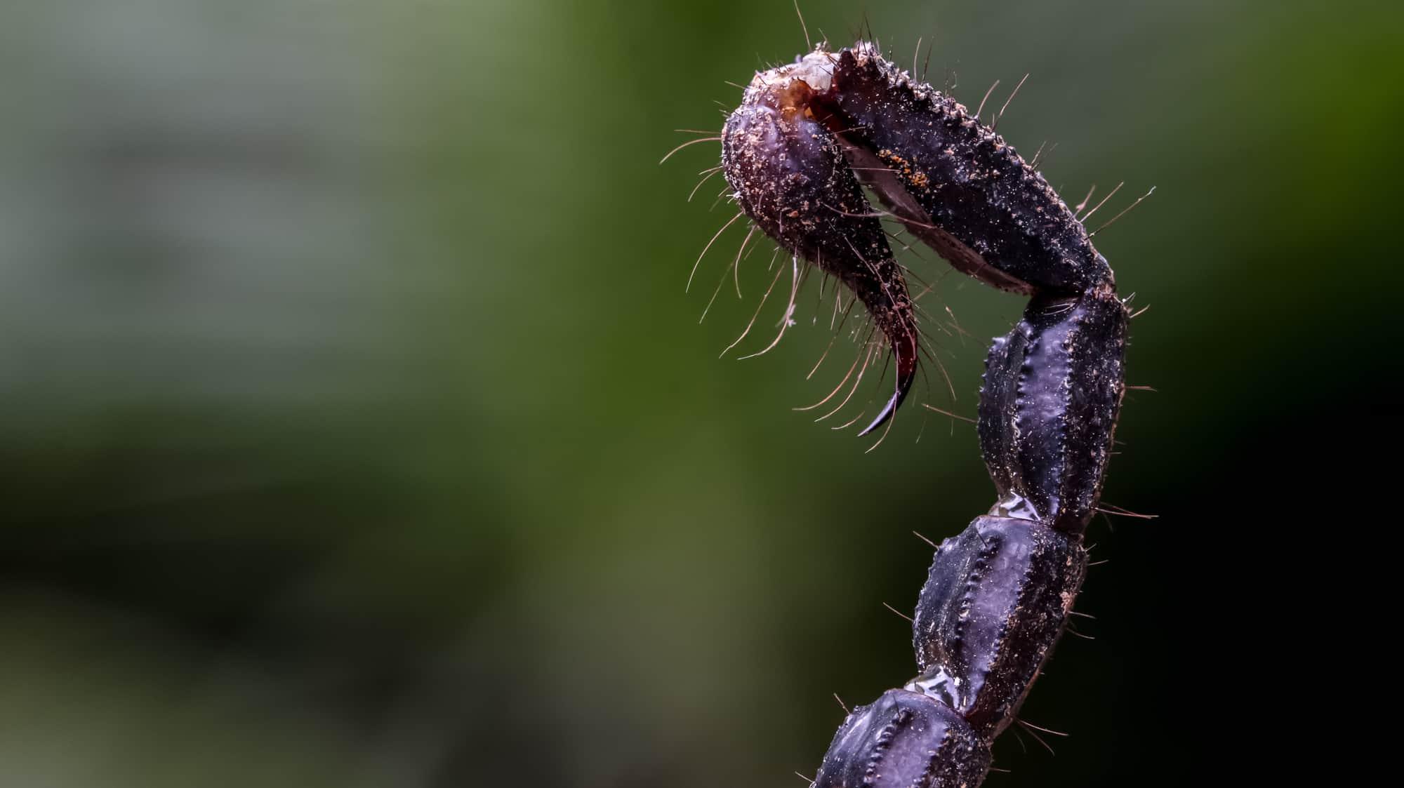 How Dangerous are Scorpion Stingers? | Terminix