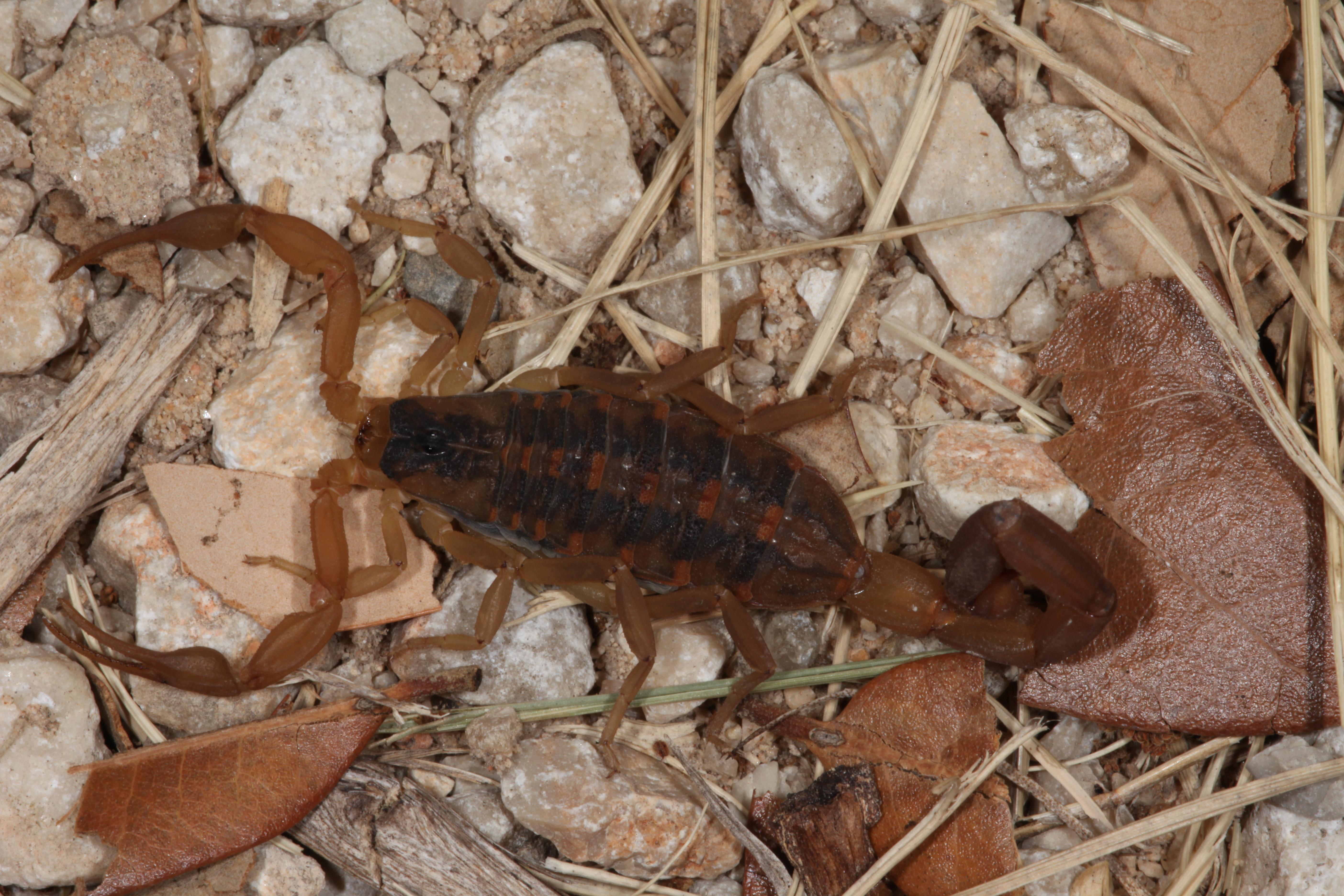 Scorpion, Arachnid, Close, Insect, Macro, HQ Photo