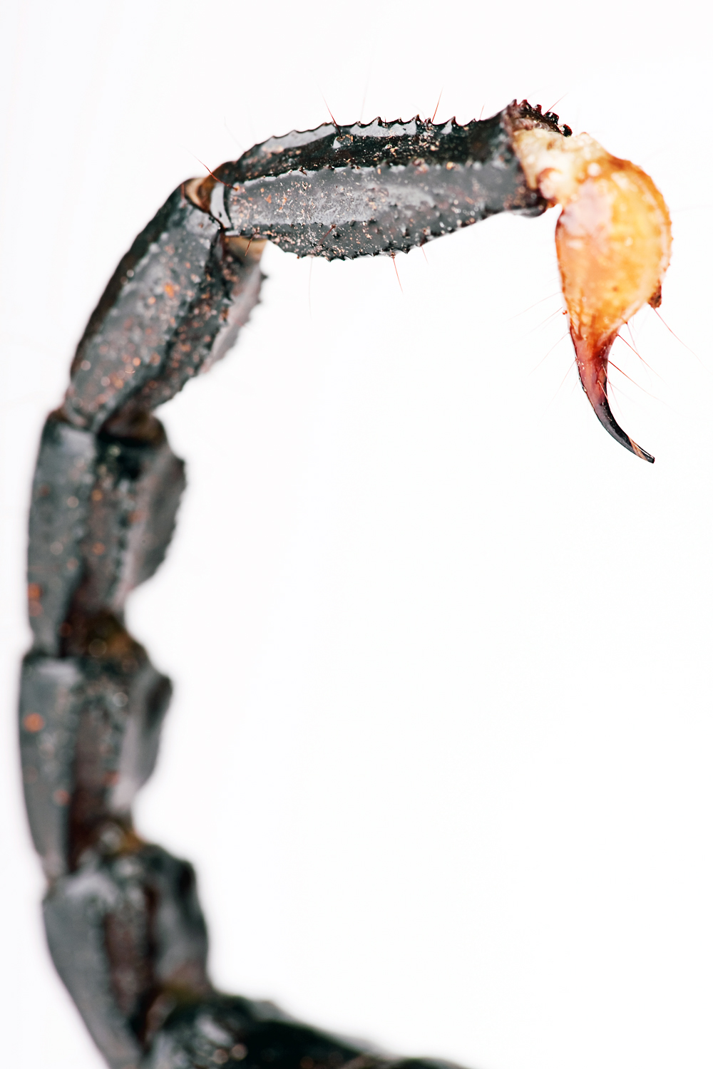 Scorpion tail photo