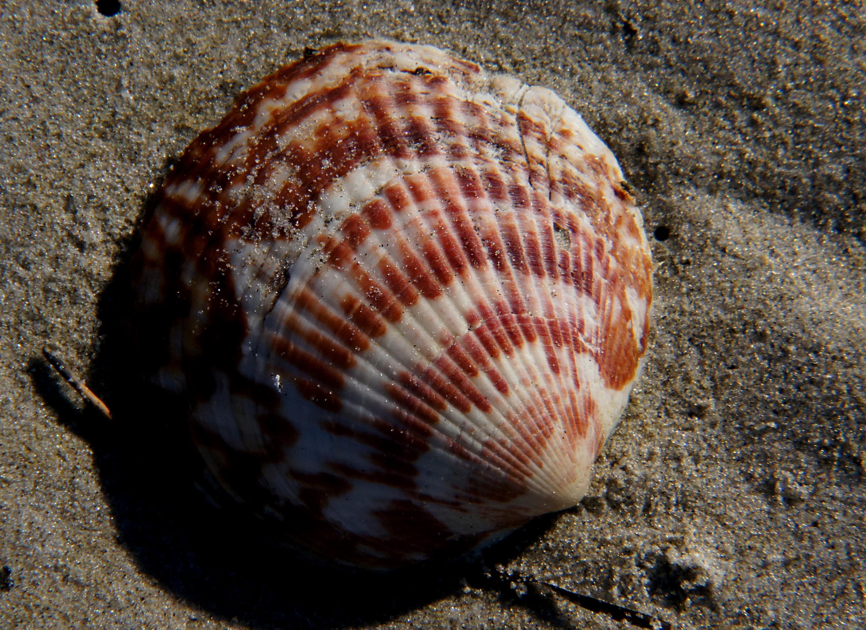 Sea shells (21) photo