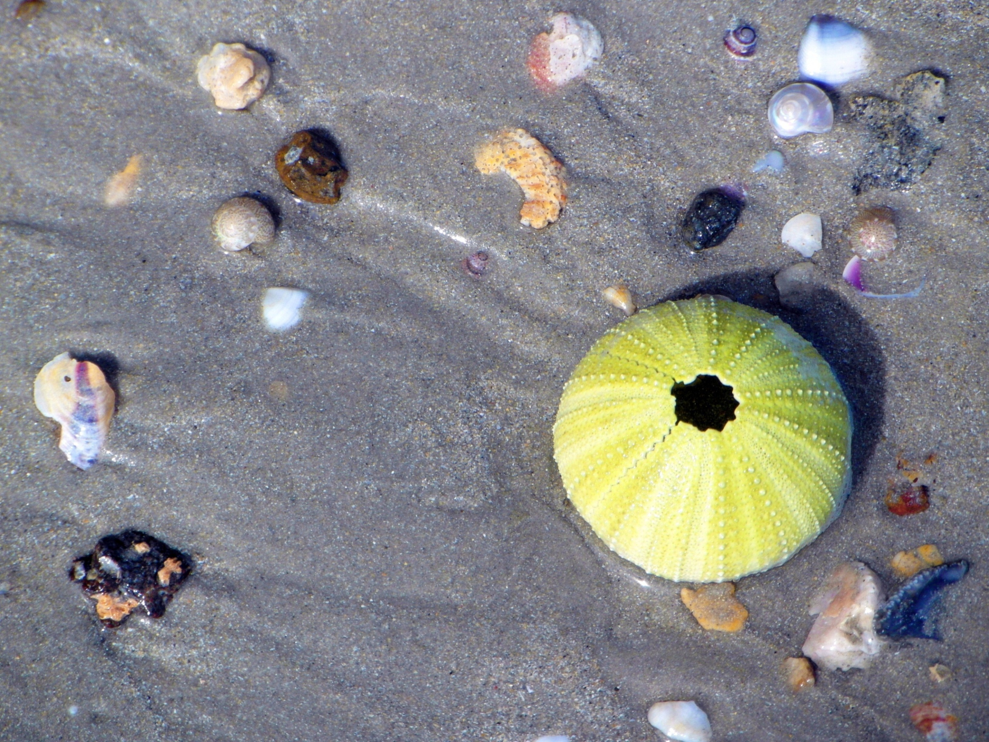 Sea shells with an urchin photo