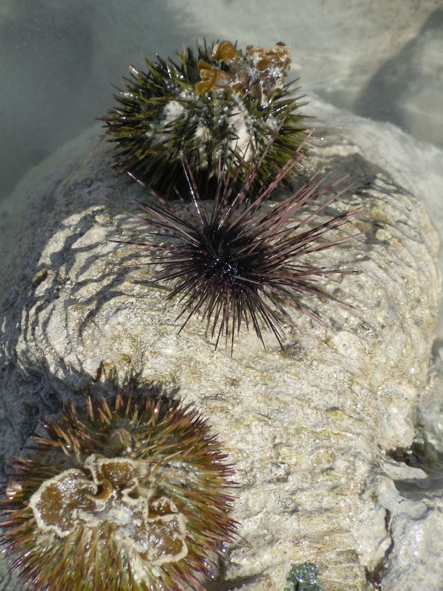 Sea urchin in Jamacia ow they hurt if you get a spike in you....you ...