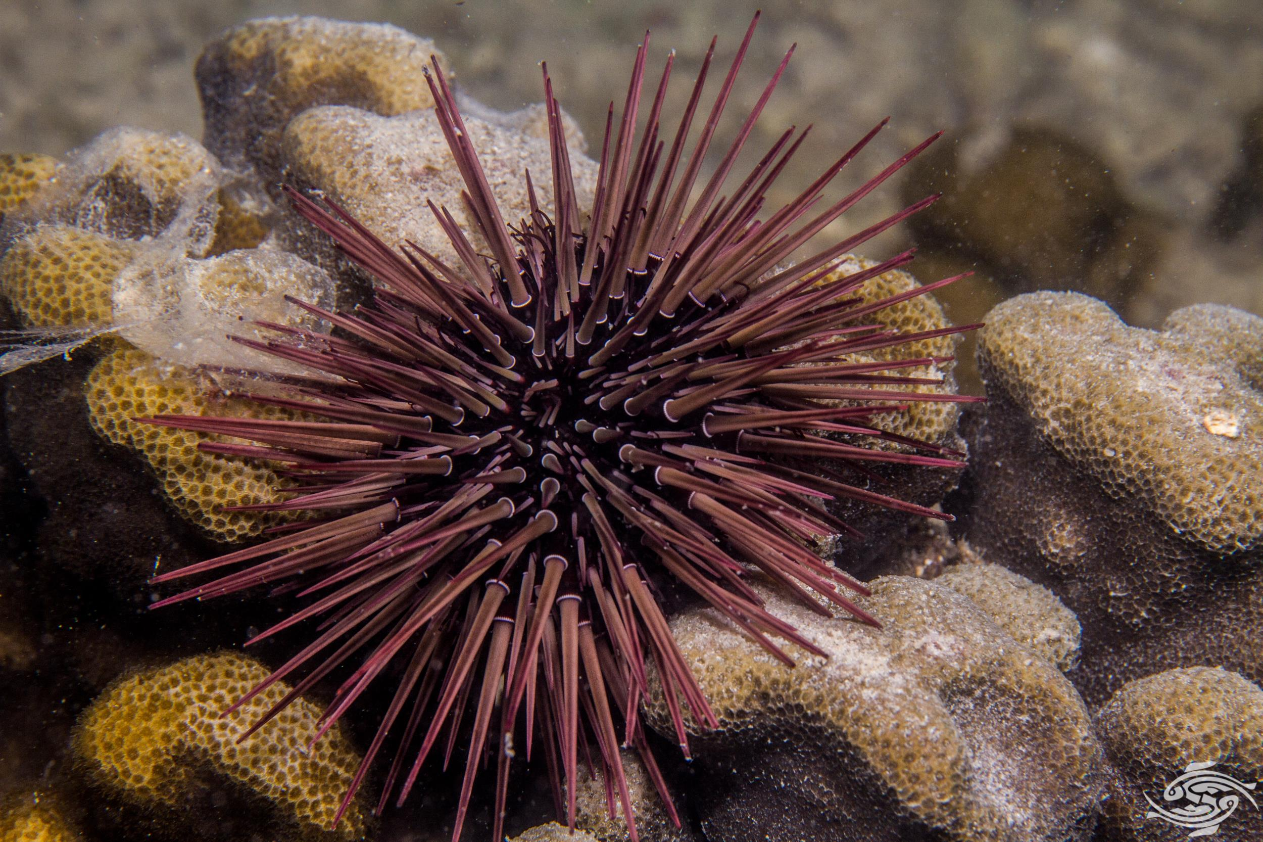 Sea Urchin Spines- How to deal with them - Seaunseen