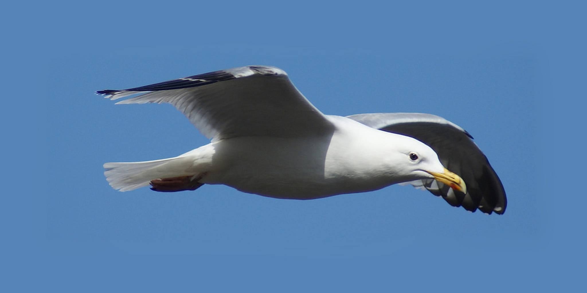 free photo seagull white sea ocean free download jooinn