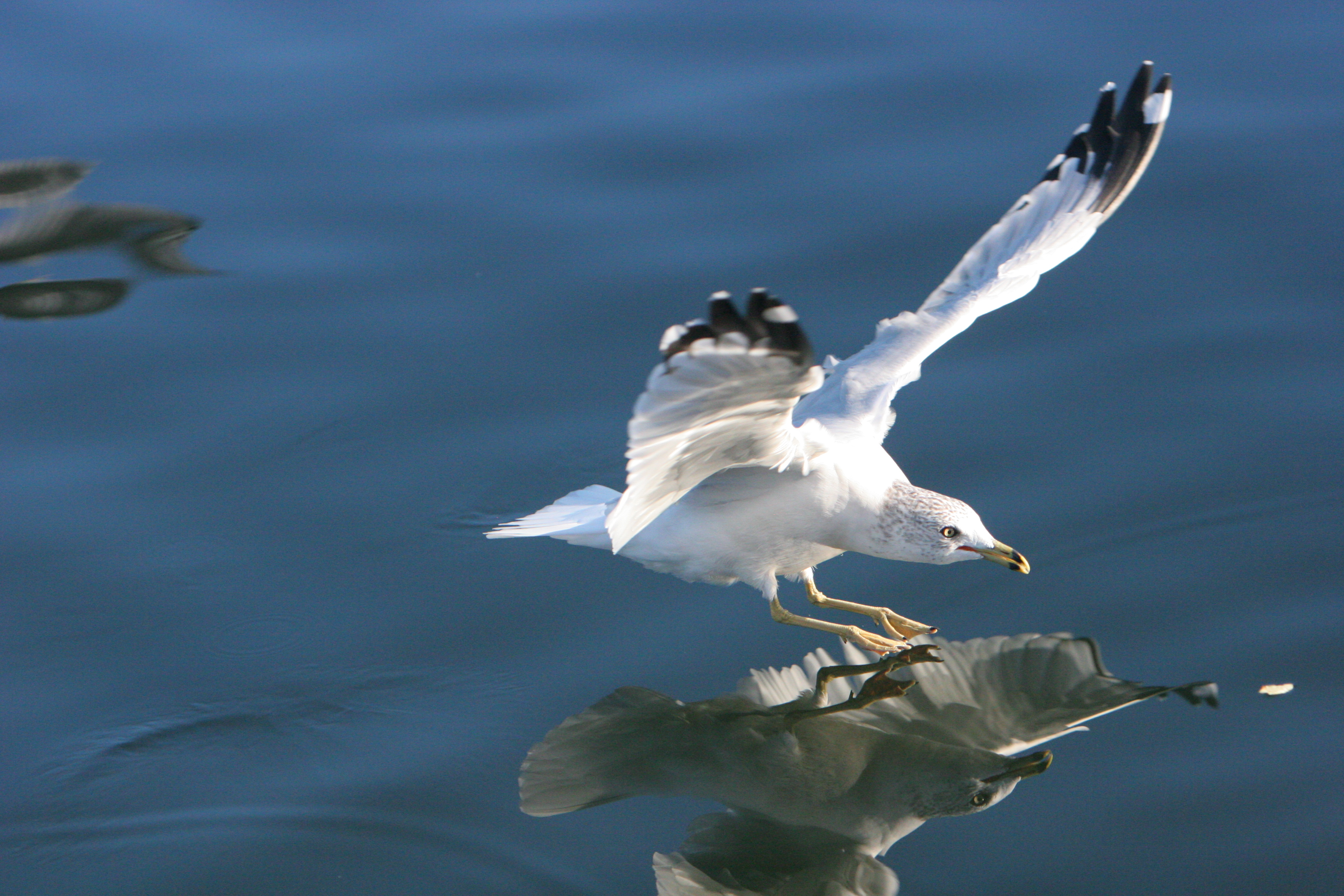 Seagull photo