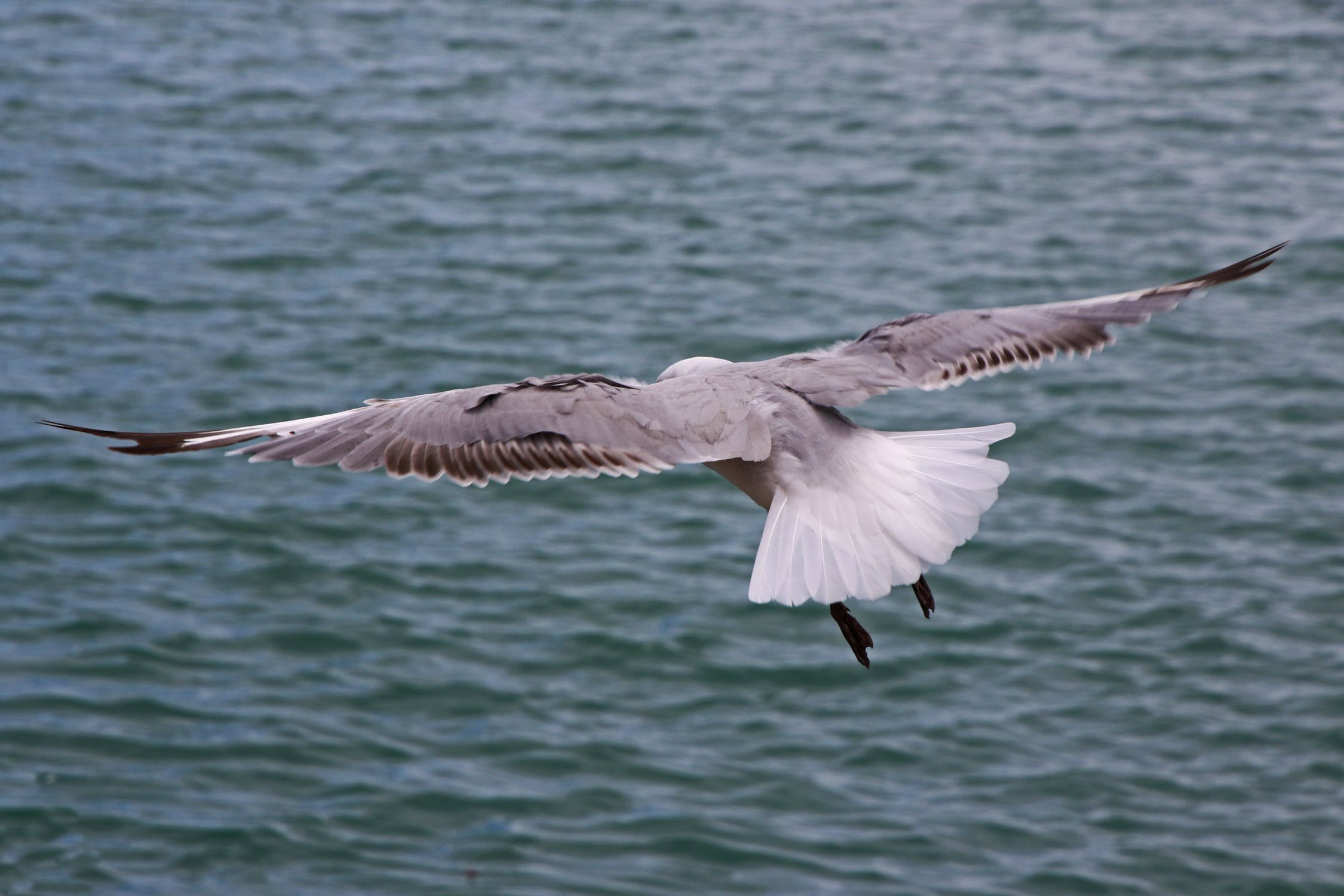 Seagull flies along the sea photo