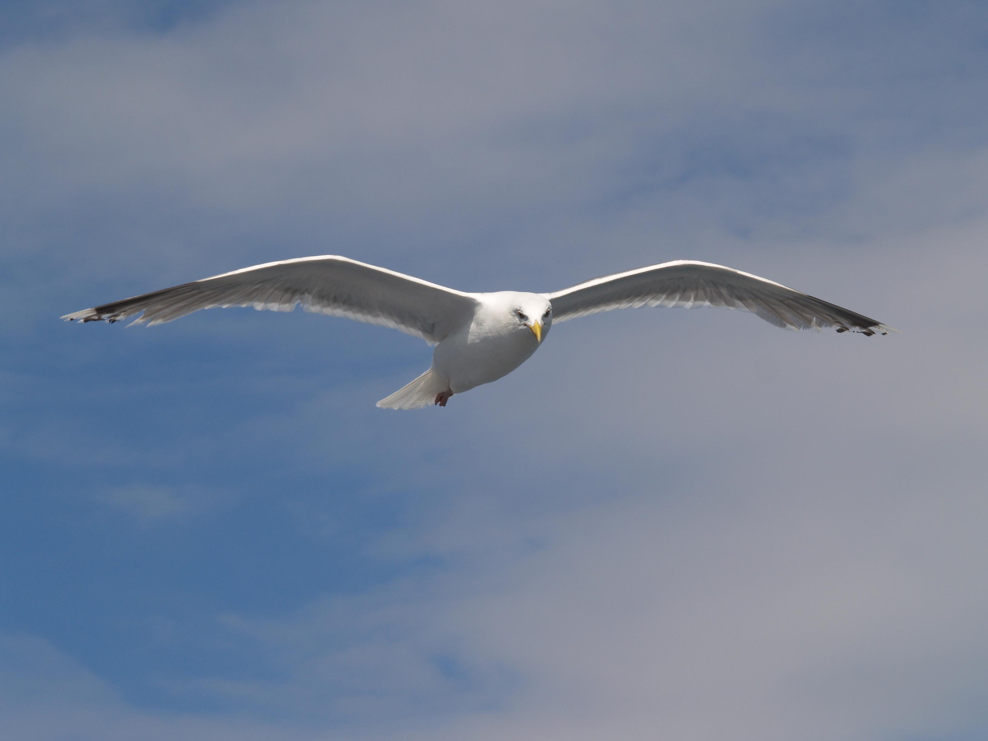 File:Seagull flying (3).jpg - Wikimedia Commons