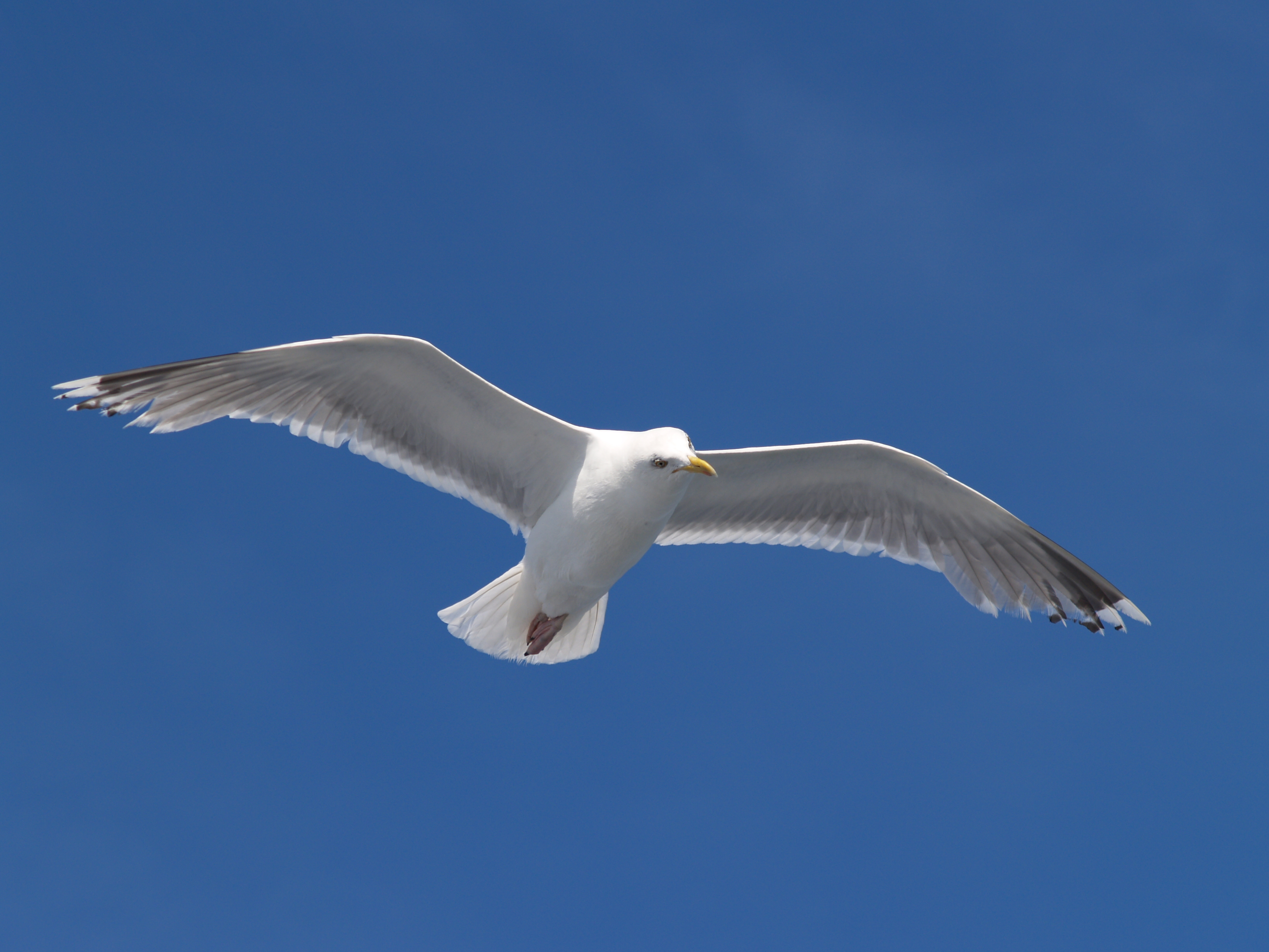 Seagull Flying Seagull Birds Wallpapers