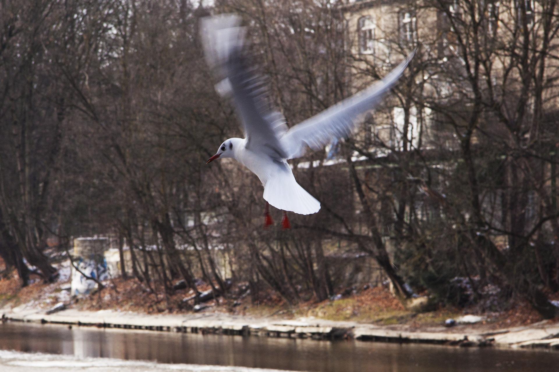 Seagull Flying, Animal, Bird, Gull, Nature, HQ Photo