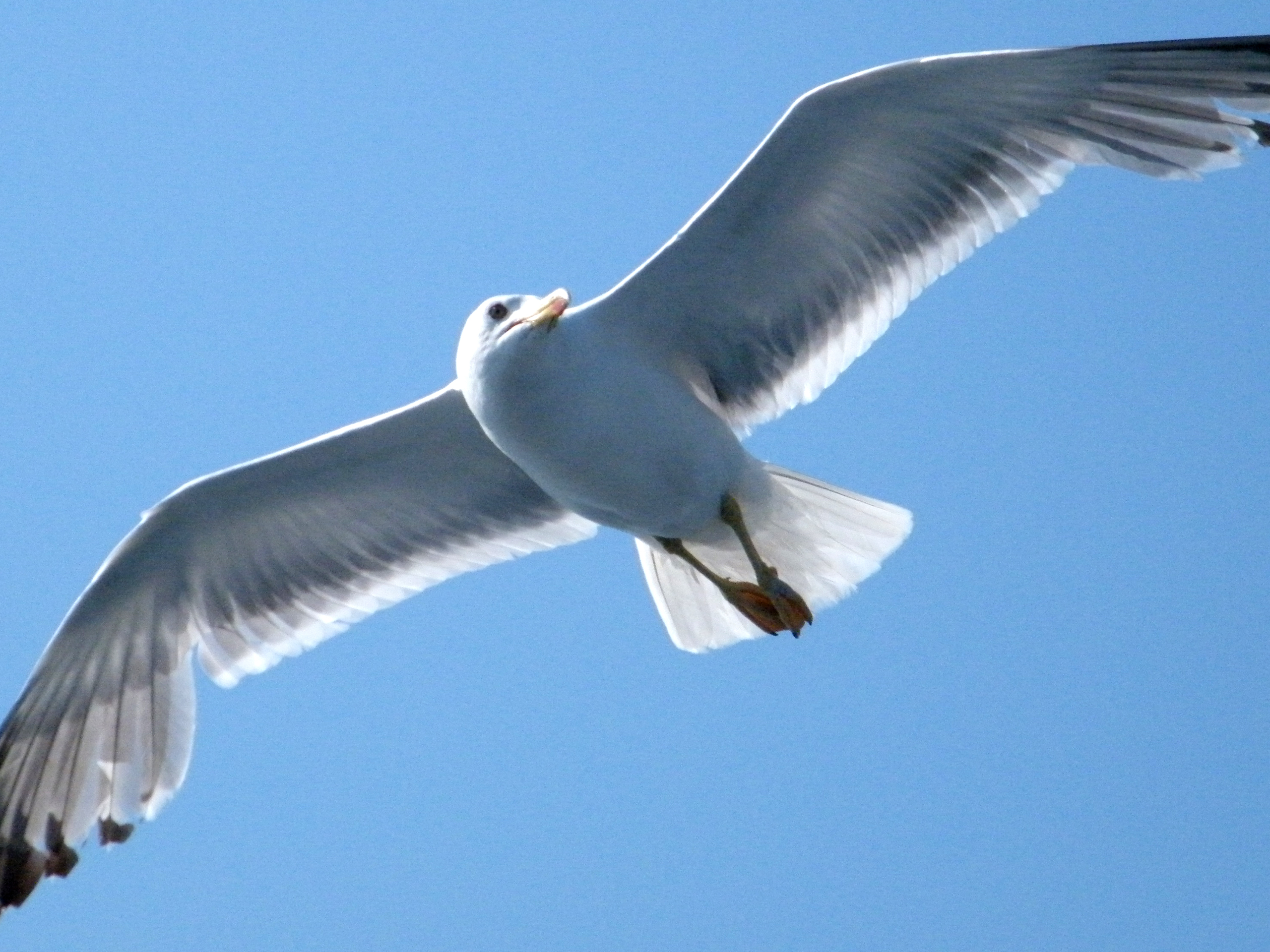 Seagull Flying wallpapers | Seagull Flying stock photos