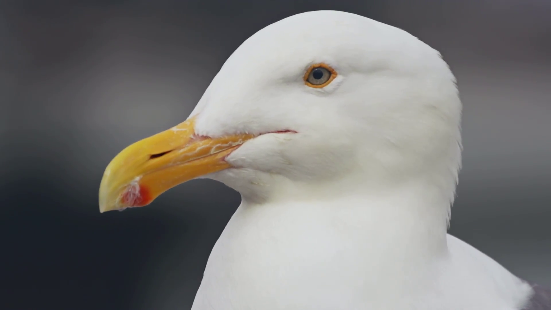 Seagull head photo