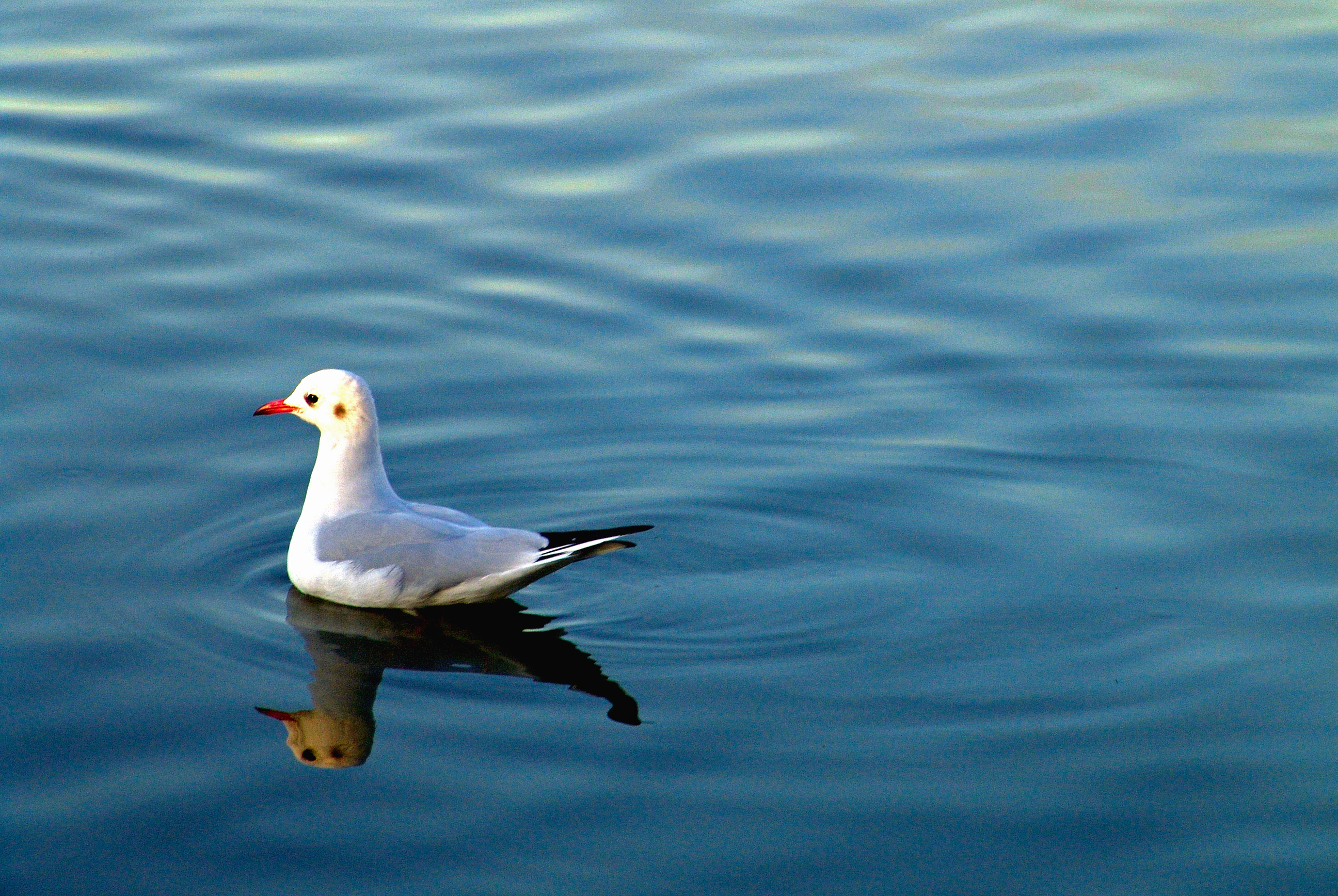 Seagull in a lake photo