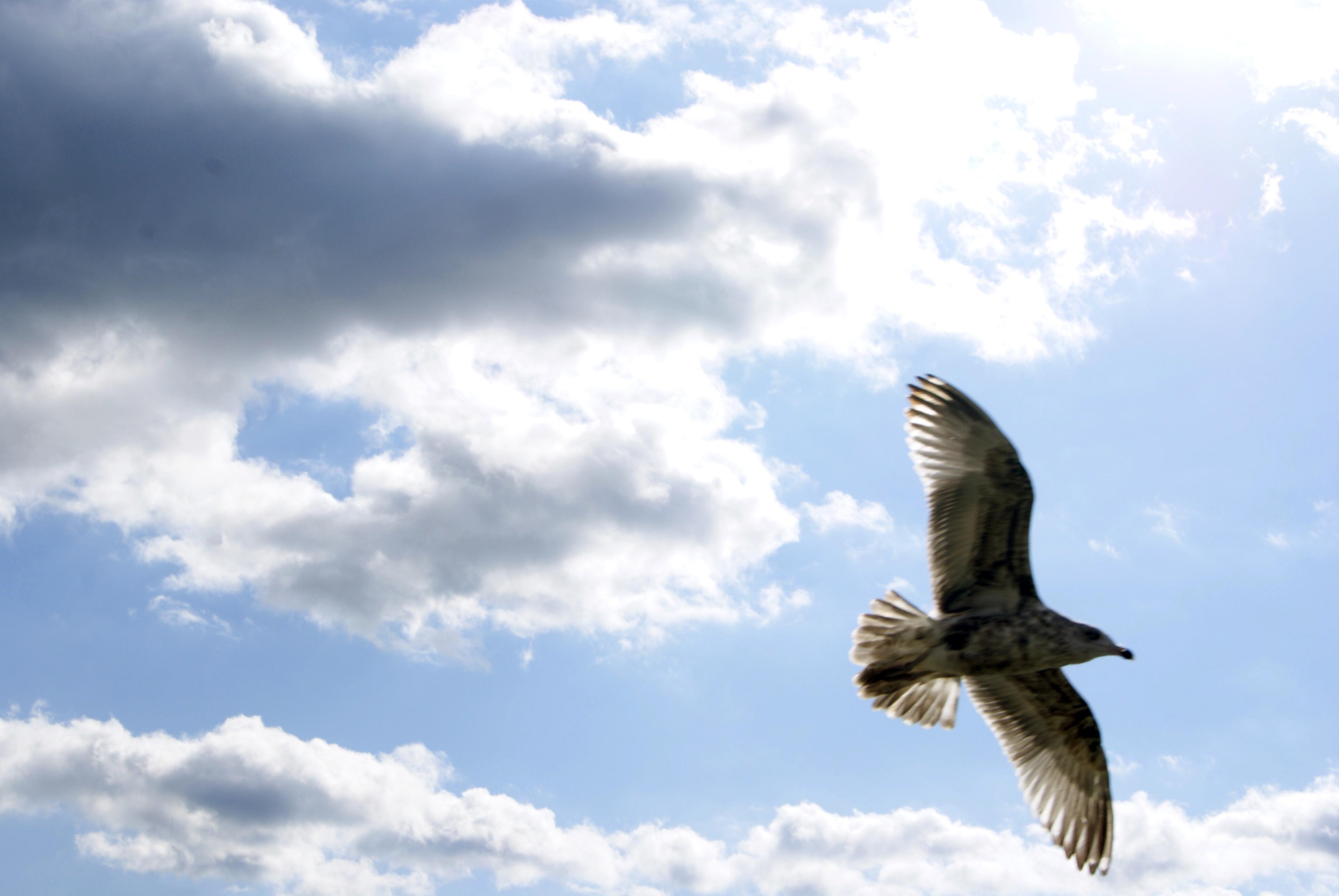 Seagull in flight 1 photo